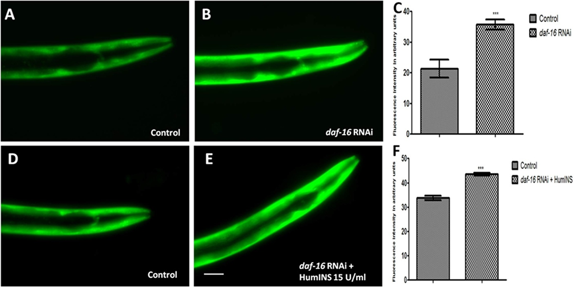 Protective action of HumINS against α-syn expression also involves FOXO transcriptional factor DAF-16 of the C. elegans ILS pathway.