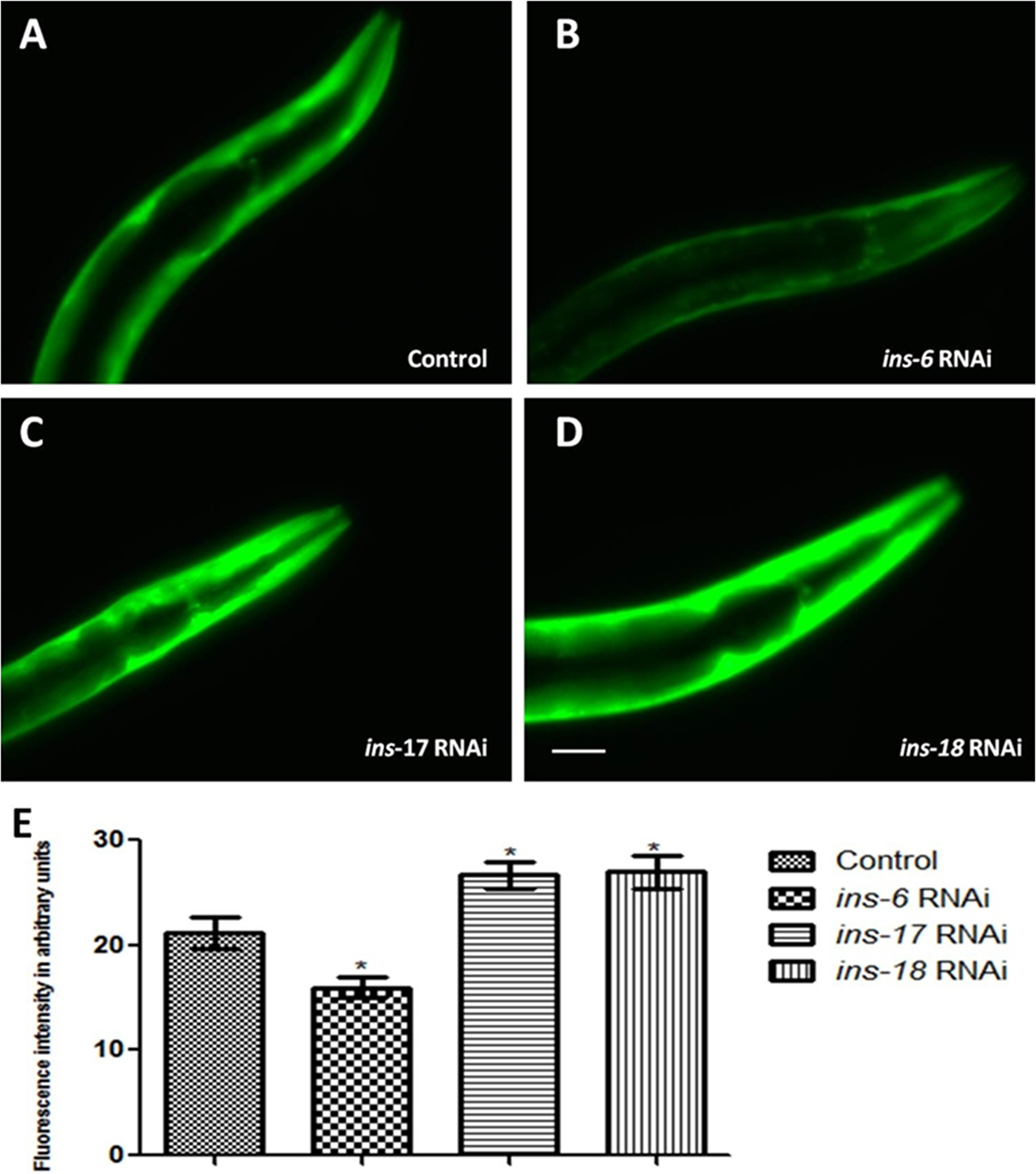 C. elegans DAF-2 receptor antagonist INS-17 and INS-18 and agonist INS-6 exhibited opposite effect on α-syn expression.