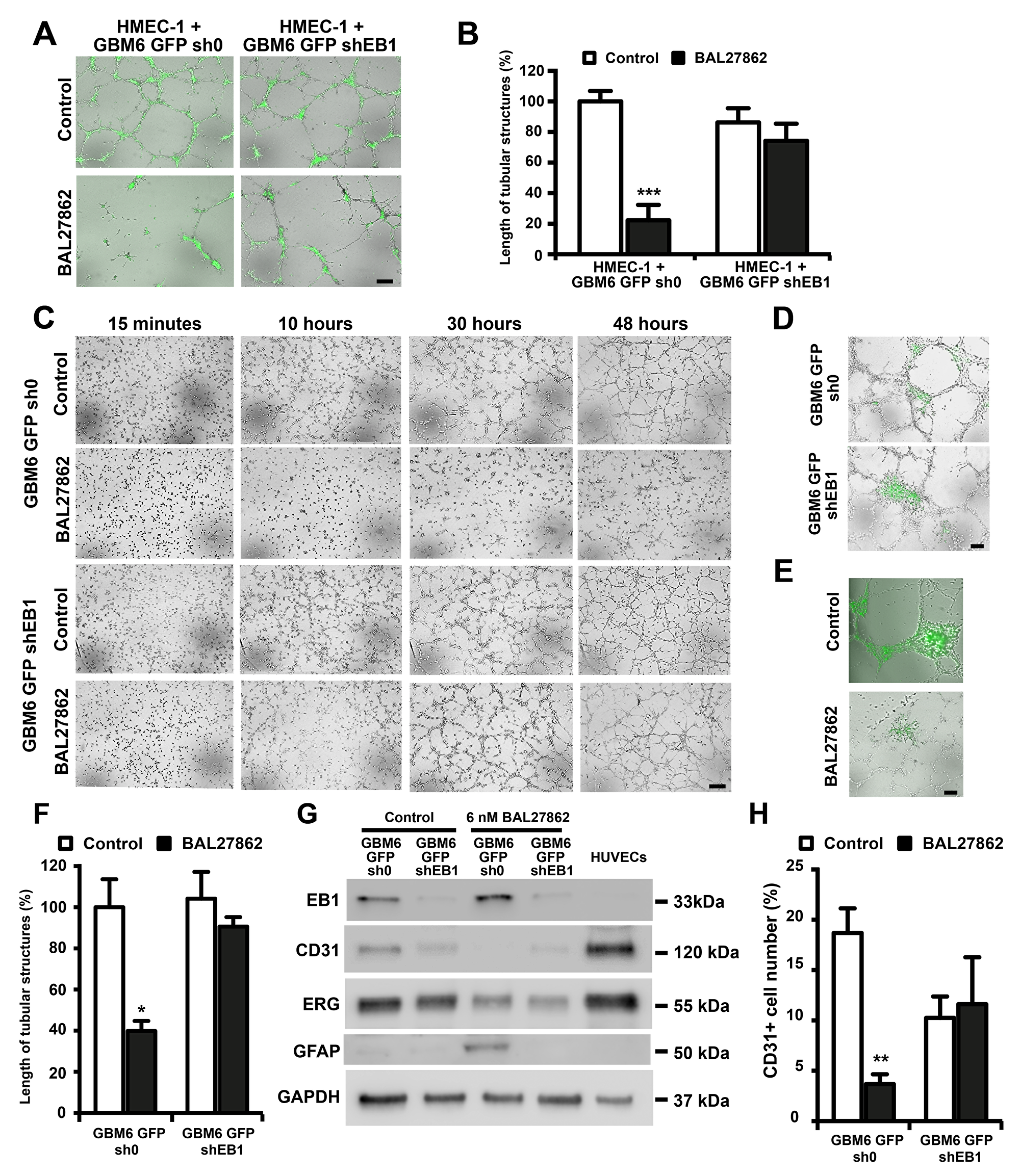 BAL27862 inhibit endothelial differentiation of cancer stem like cells, in an EB1 expression-dependent manner.