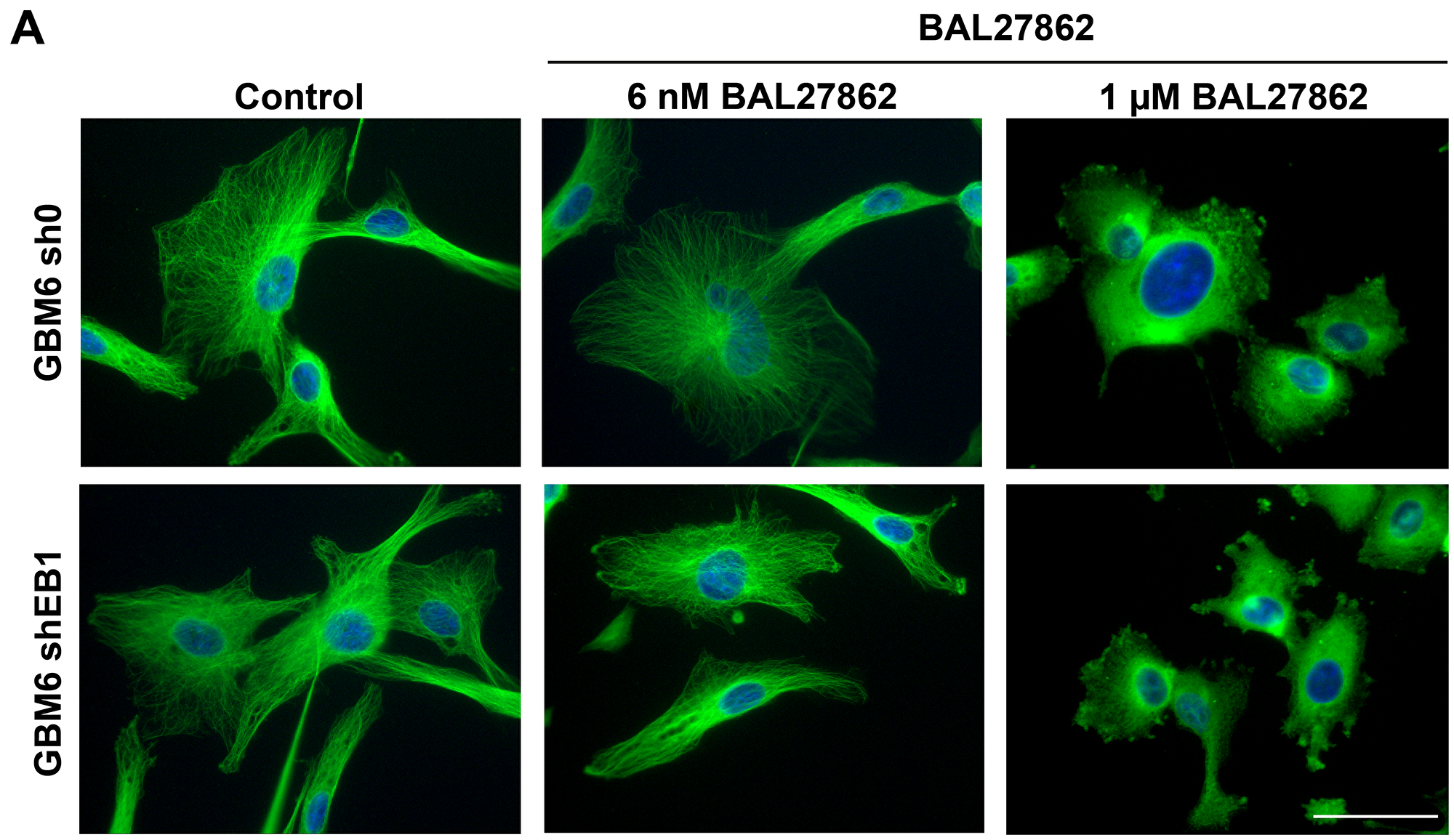 Sub-cytotoxic concentration of BAL27862 does not induce modifications of MT cytoskeleton architecture.
