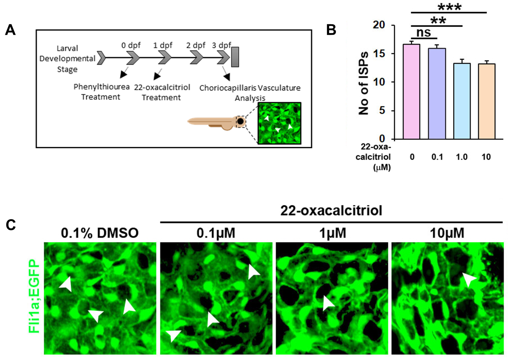22-oxacalcitriol attenuates choriocapillaris development in zebrafish larvae.