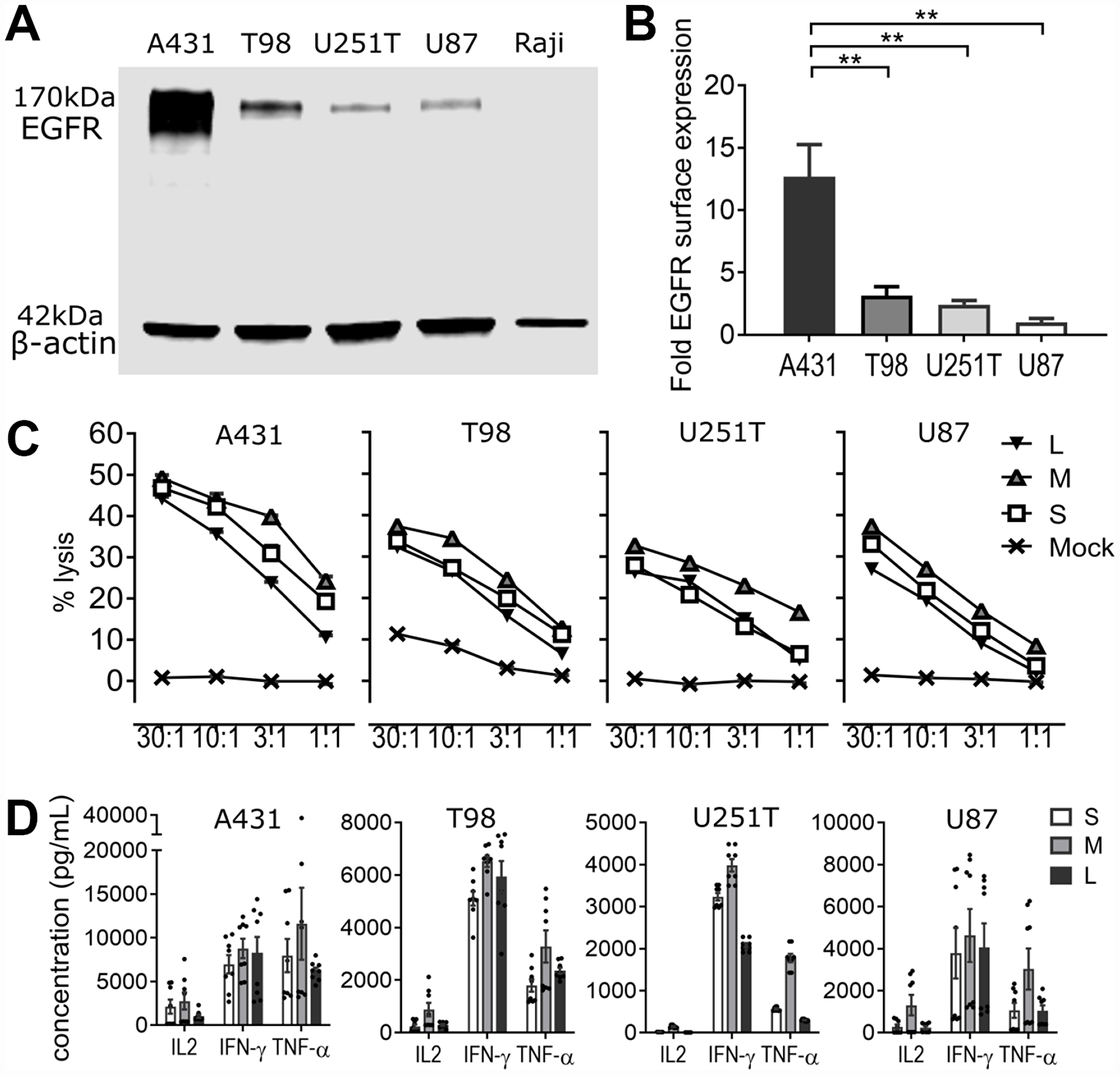 EGFR806-CAR T cells are selectively activated by tumor-specific EGFR expression in vitro.