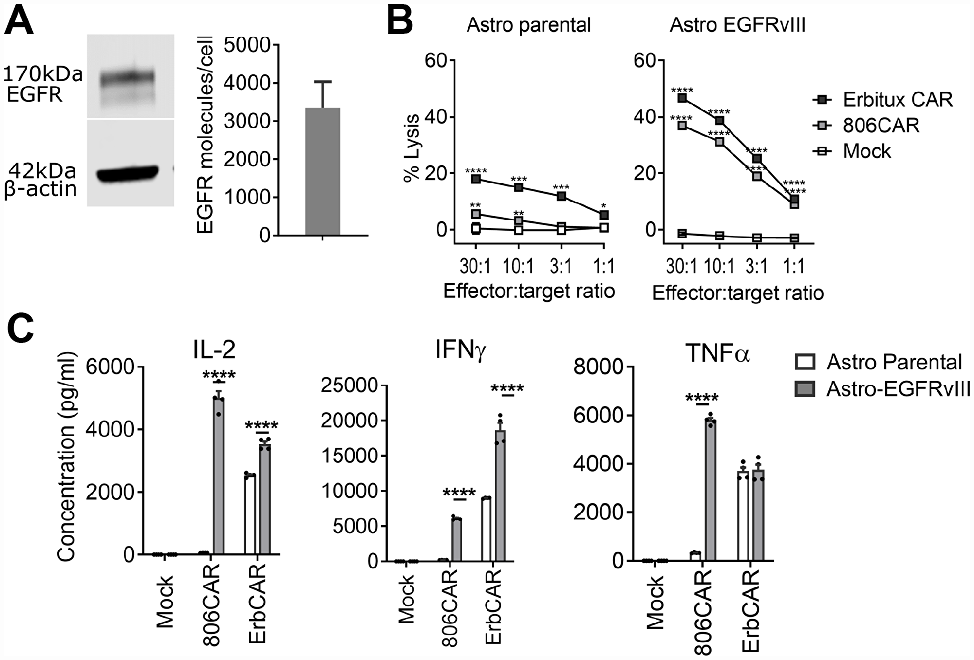 EGFR806-CAR T cells have lower activity against physiologically expressed EGFR compared to Erbitux-CAR.