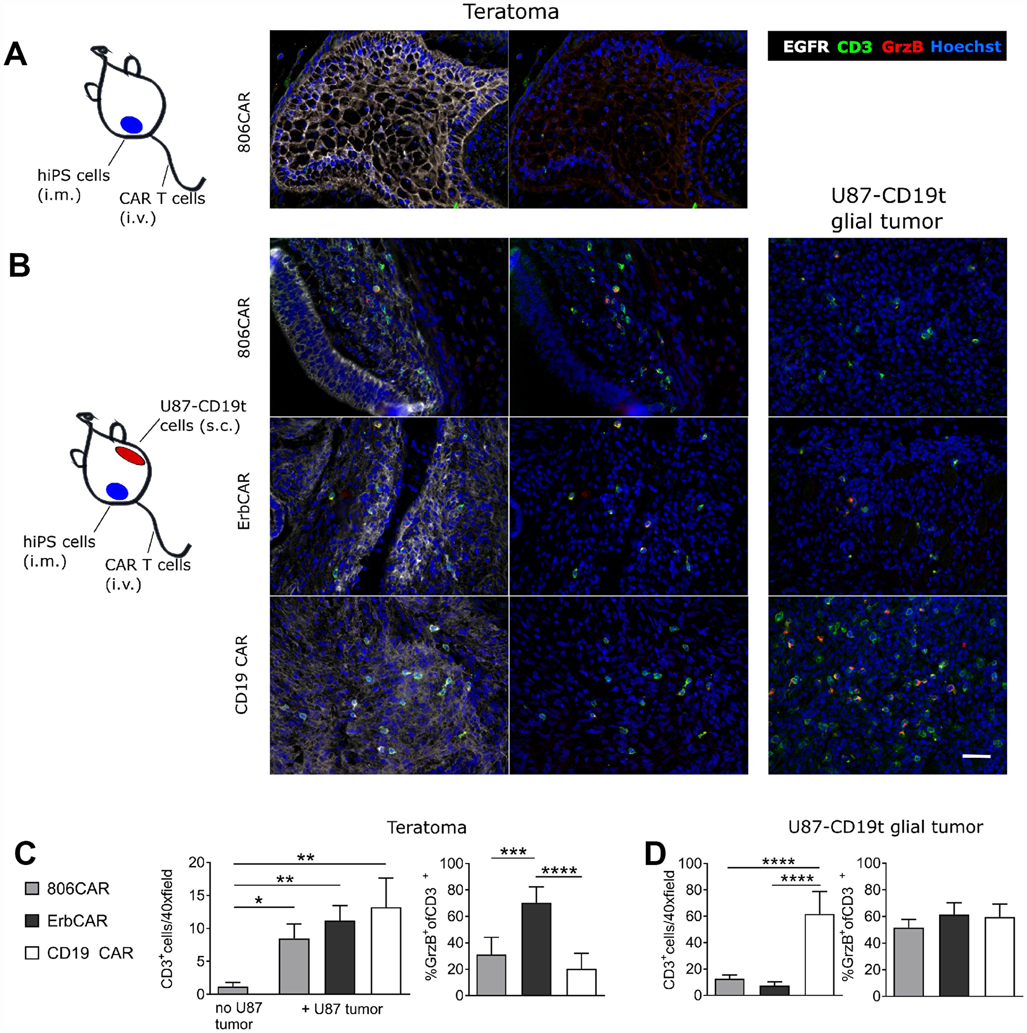 EGFR806-CAR T cells are selectively activated by tumor-specific EGFR expression in a human iPS cell teratoma model.
