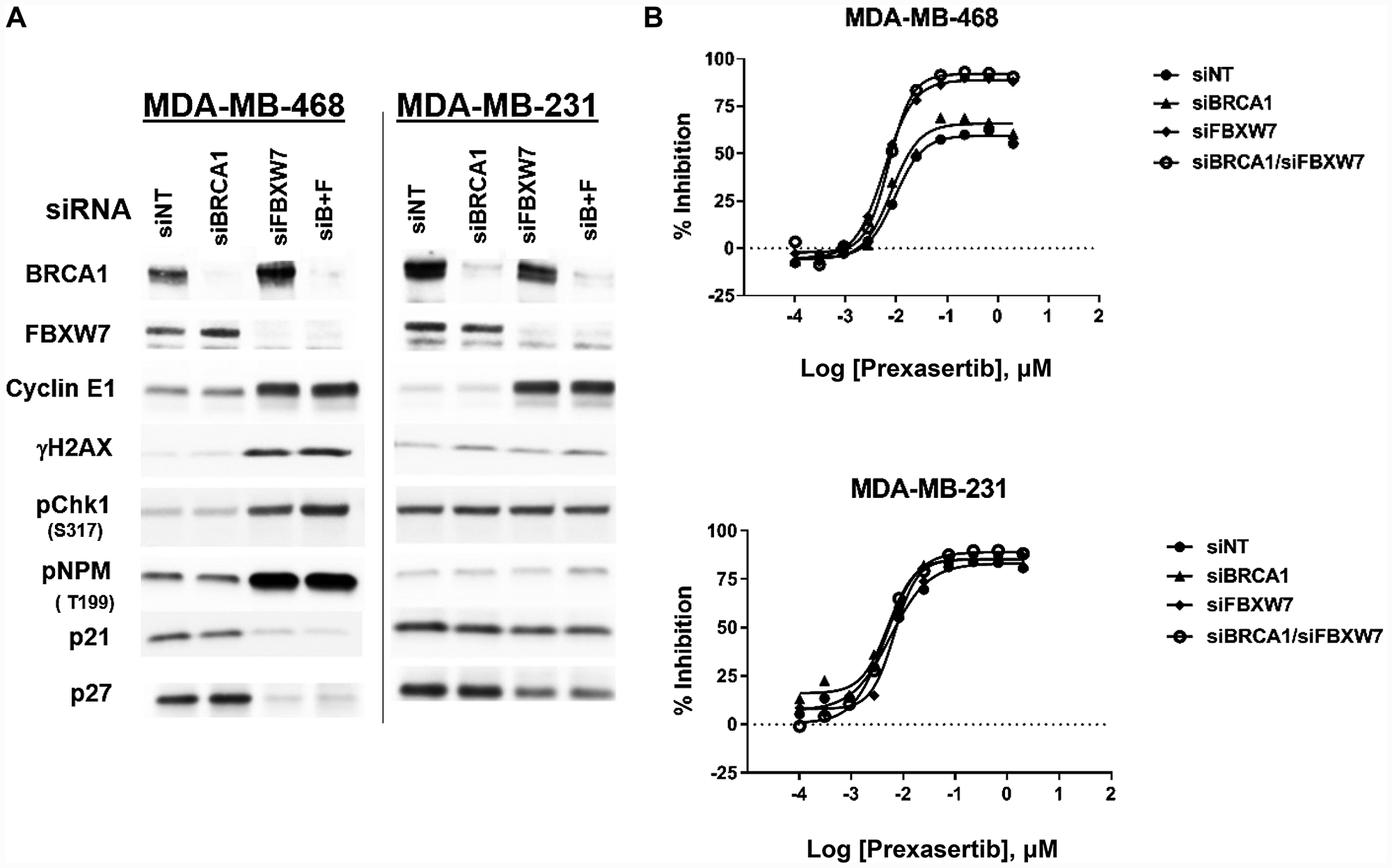Effect of FBXW7 knockdown on cyclin E1 levels and prexasertib sensitivity.