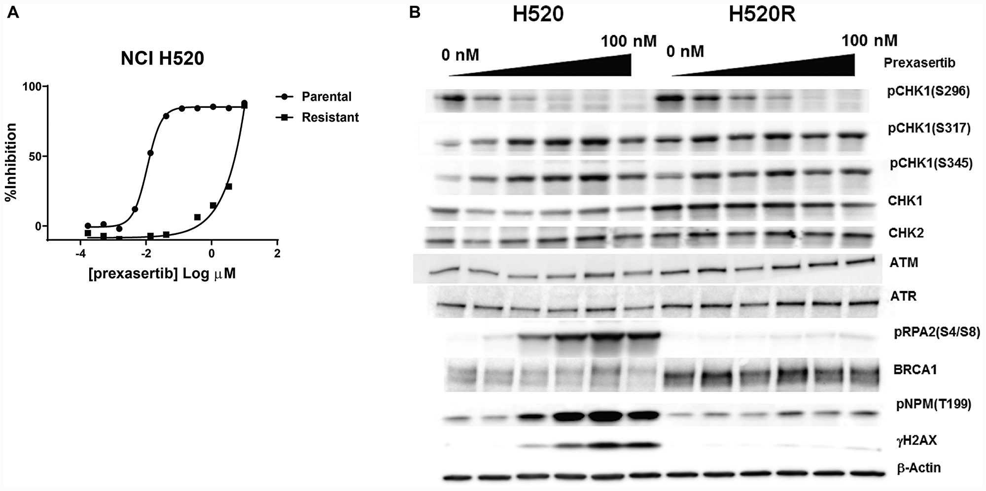 Pharmacological and molecular characterization of NCI-H520R cells.