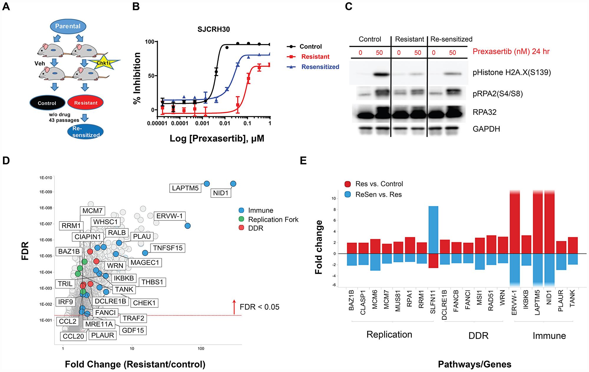 In vivo establishment and genomic characterization of acquired resistance to prexasertib in the aRMS SJC-Rh30 xenograft model.