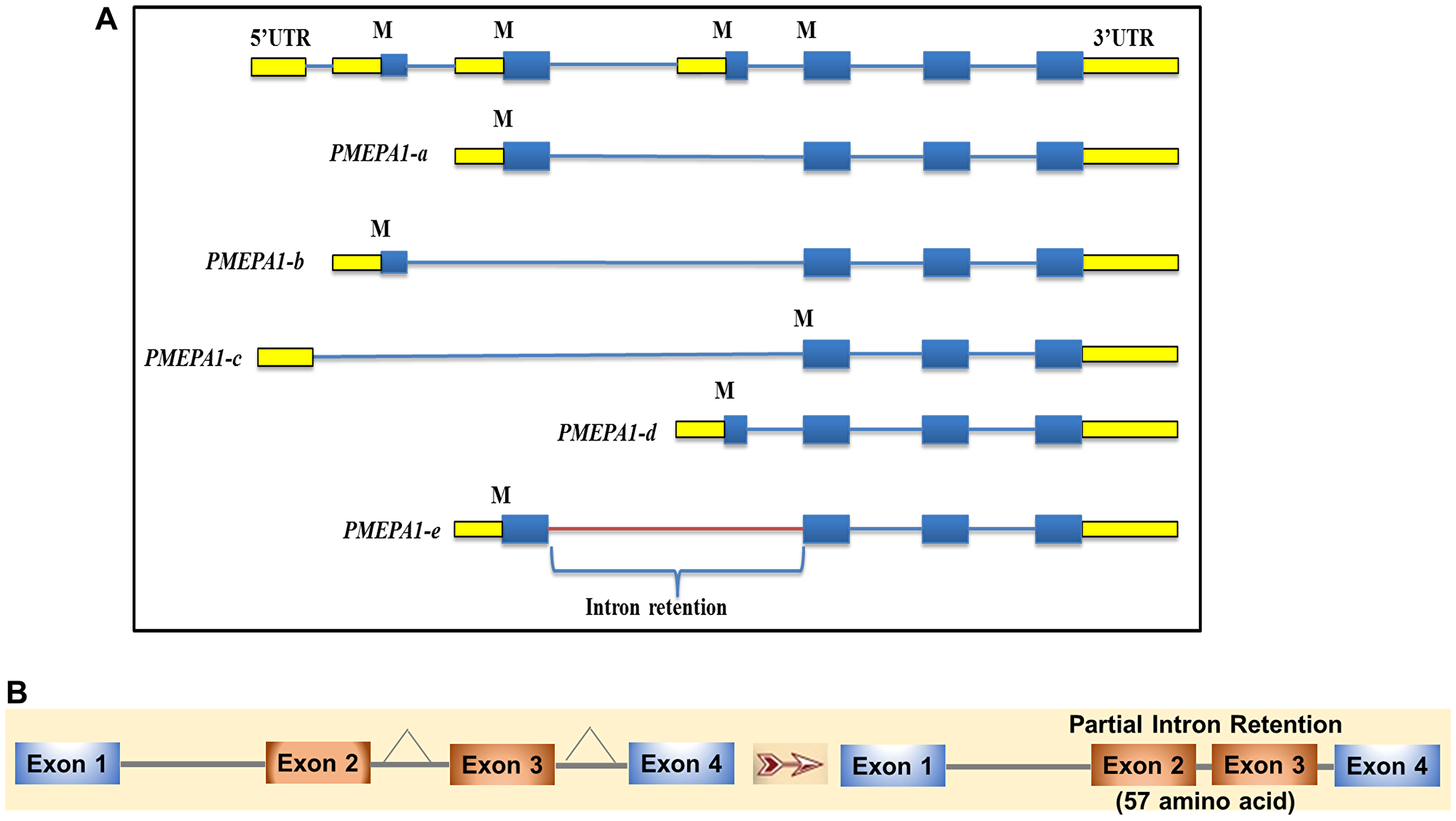PMEPA1 splice variants (isoforms) exon-intron structure.