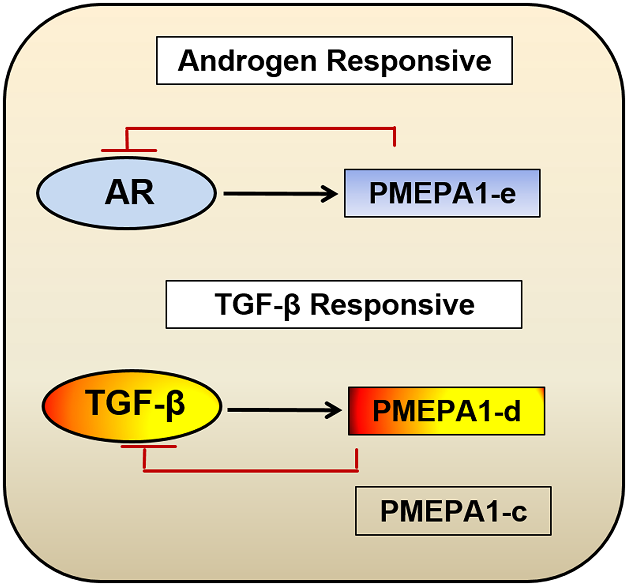 Model for biological function categorization of PMEPA1 isoforms (c, d and e) in the context of prostate cancer.