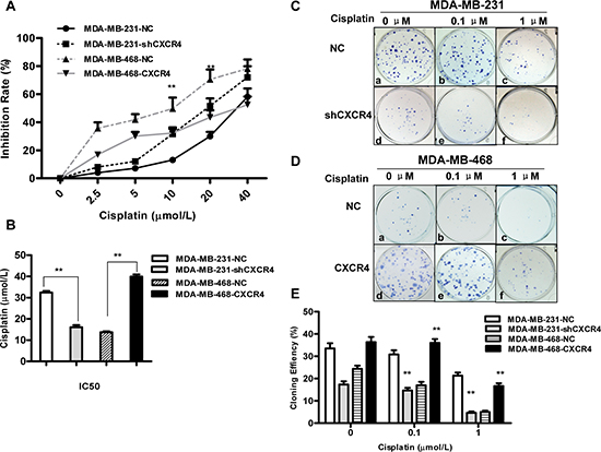 Effects of cisplatin on proliferation and colony formation in triple-negative breast cancer (TNBC) cells.