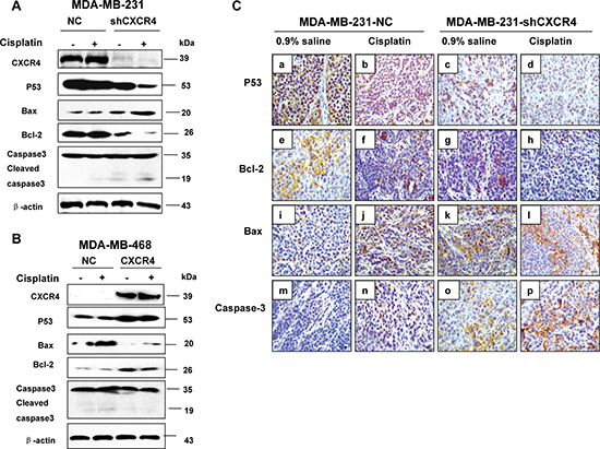 The effect of CXCR4 on protein expression and cell cycle associated proteins in TNBC cells.