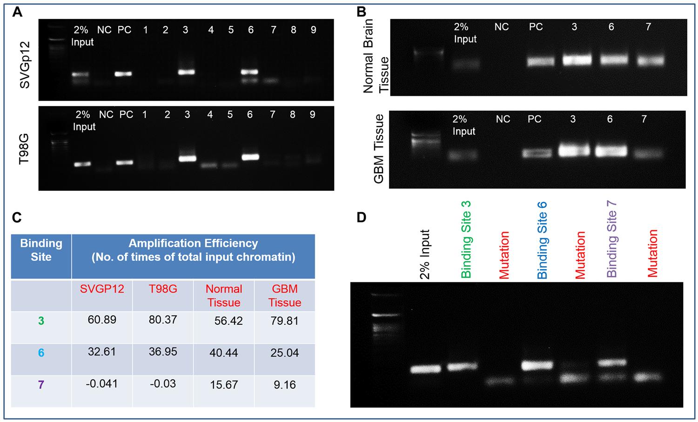 Fli-1, a transcription factor in the upstream region of HSPB1.