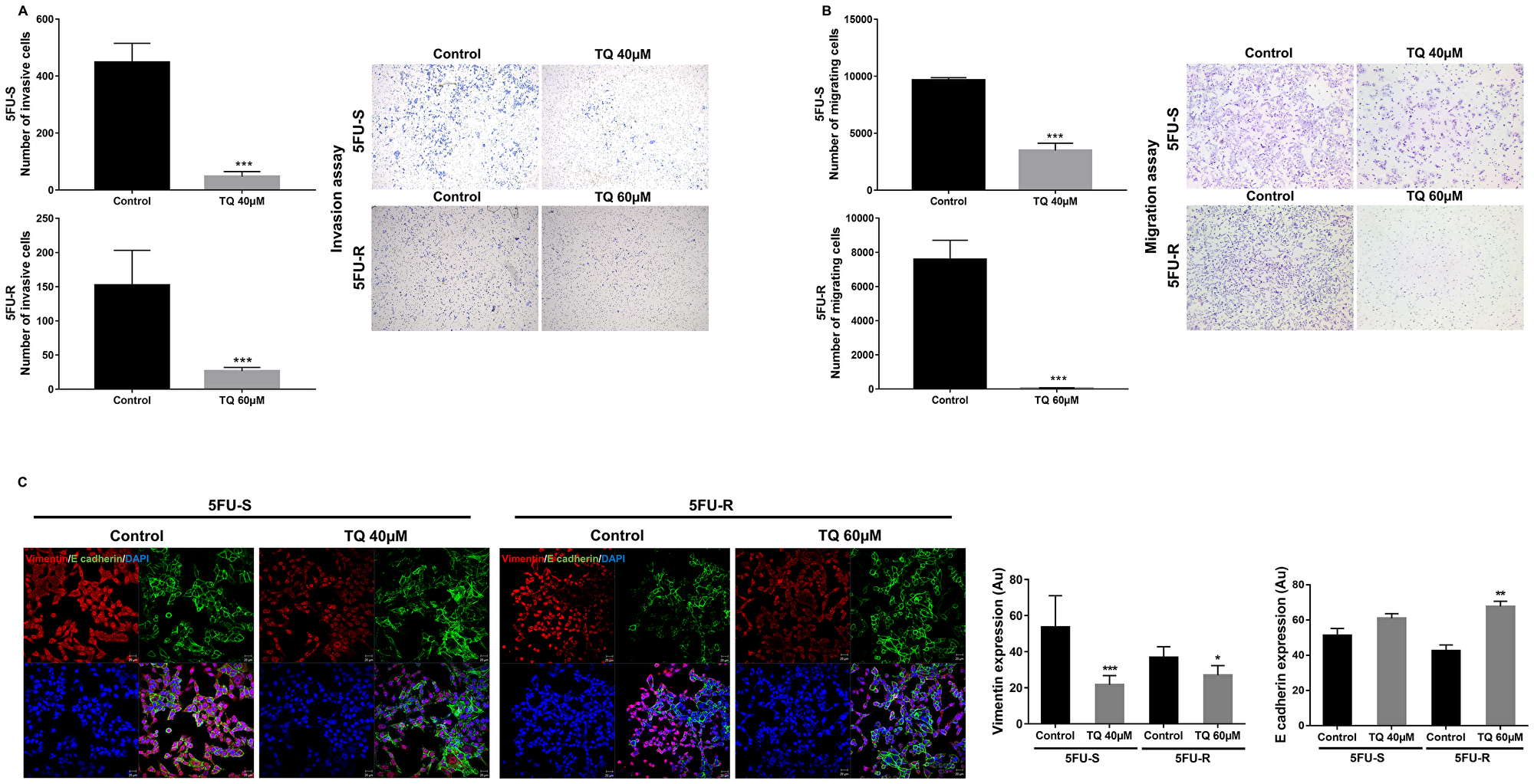 TQ reduces invasion and migration ability of 5FU-sensitive and 5FU-resistant HCT116 colorectal cancer cells.