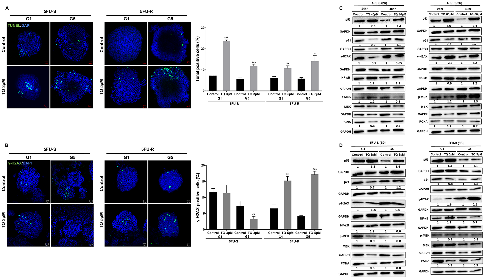 TQ induces apoptosis and DNA damage in colon cancer stem/progenitor cells.