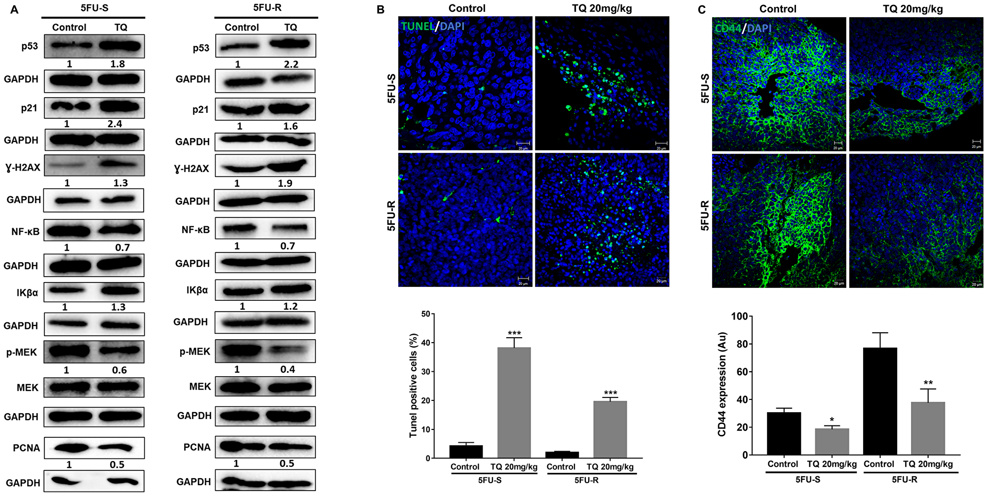 TQ induces apoptosis and reduces proliferation in NOD-SCID and NOG mice.