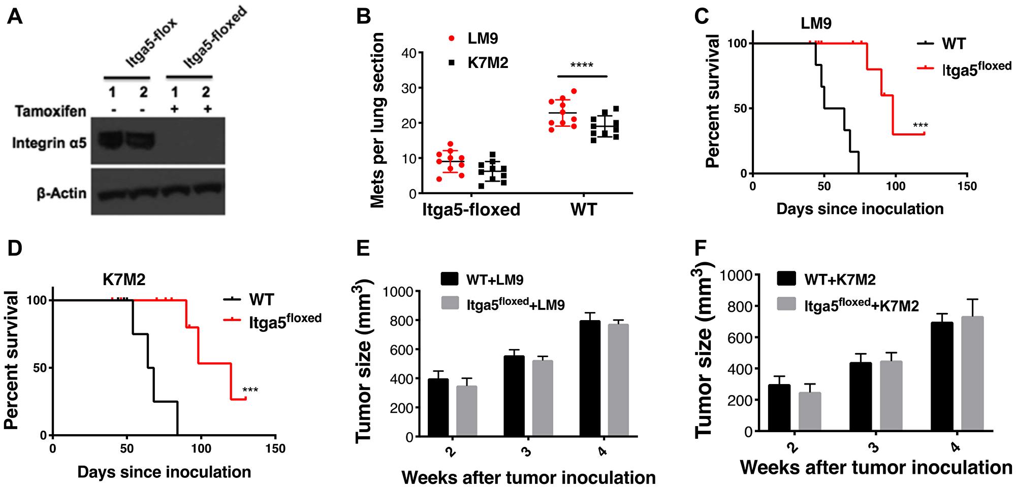 Integrin α5β1 deficiency in alveolar type II (AT-II) diminishes establishment of osteosarcoma lung metastasis.
