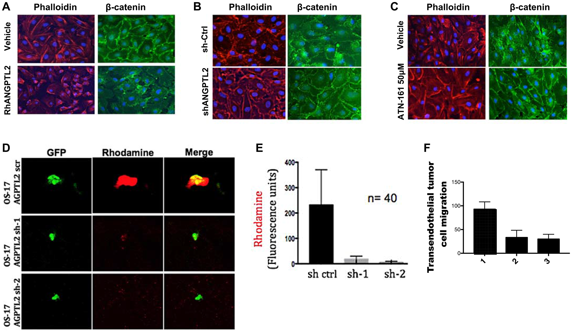 Tumor-secreted ANGPTL2 promotes osteosarcoma metastasis by mediating endothelial monolayer disruption, lung capillary permeability, and trans-endothelial tumor cell migration.