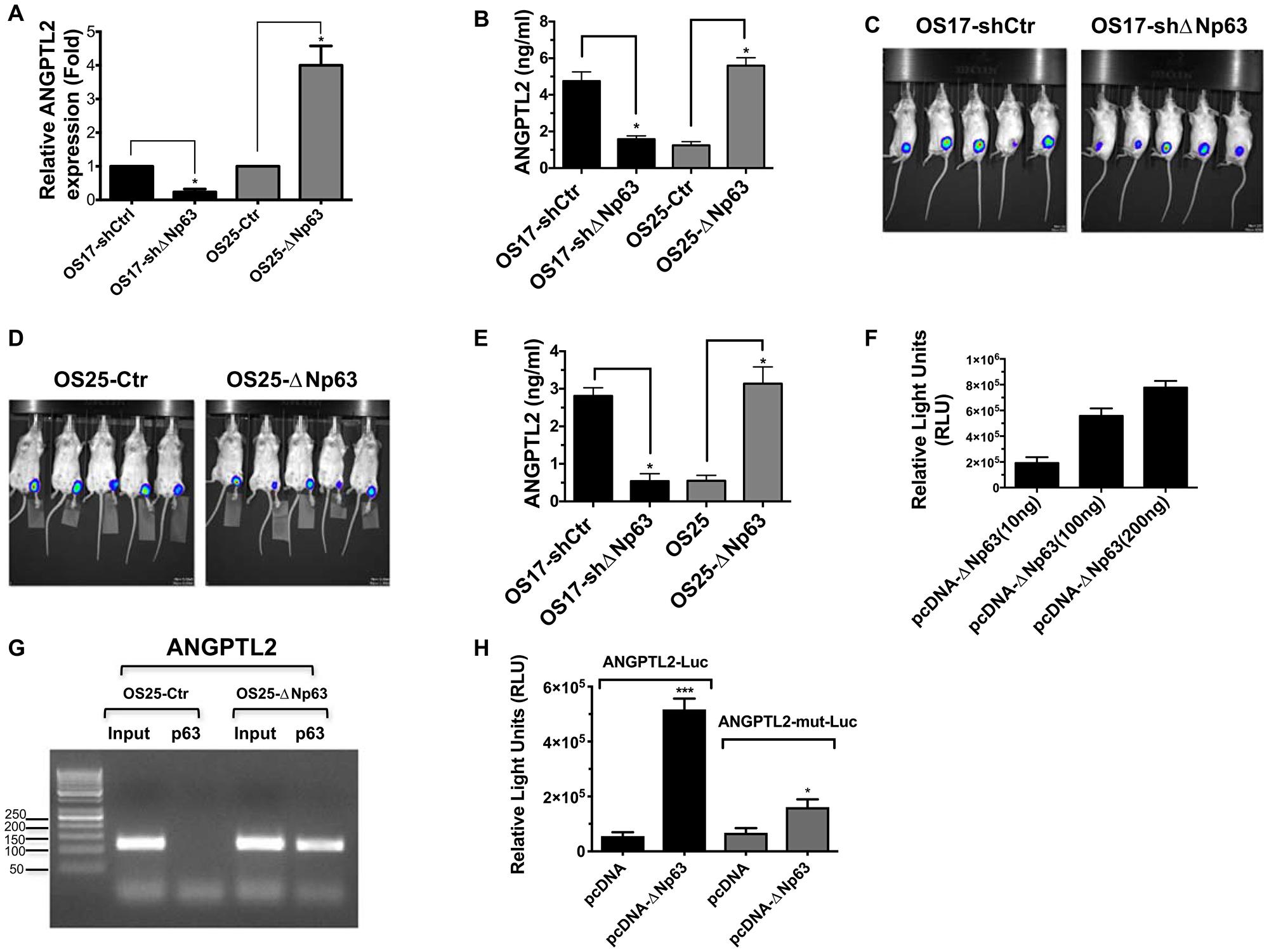 ΔNp63 induces ANGPTL2 expression and secretion.