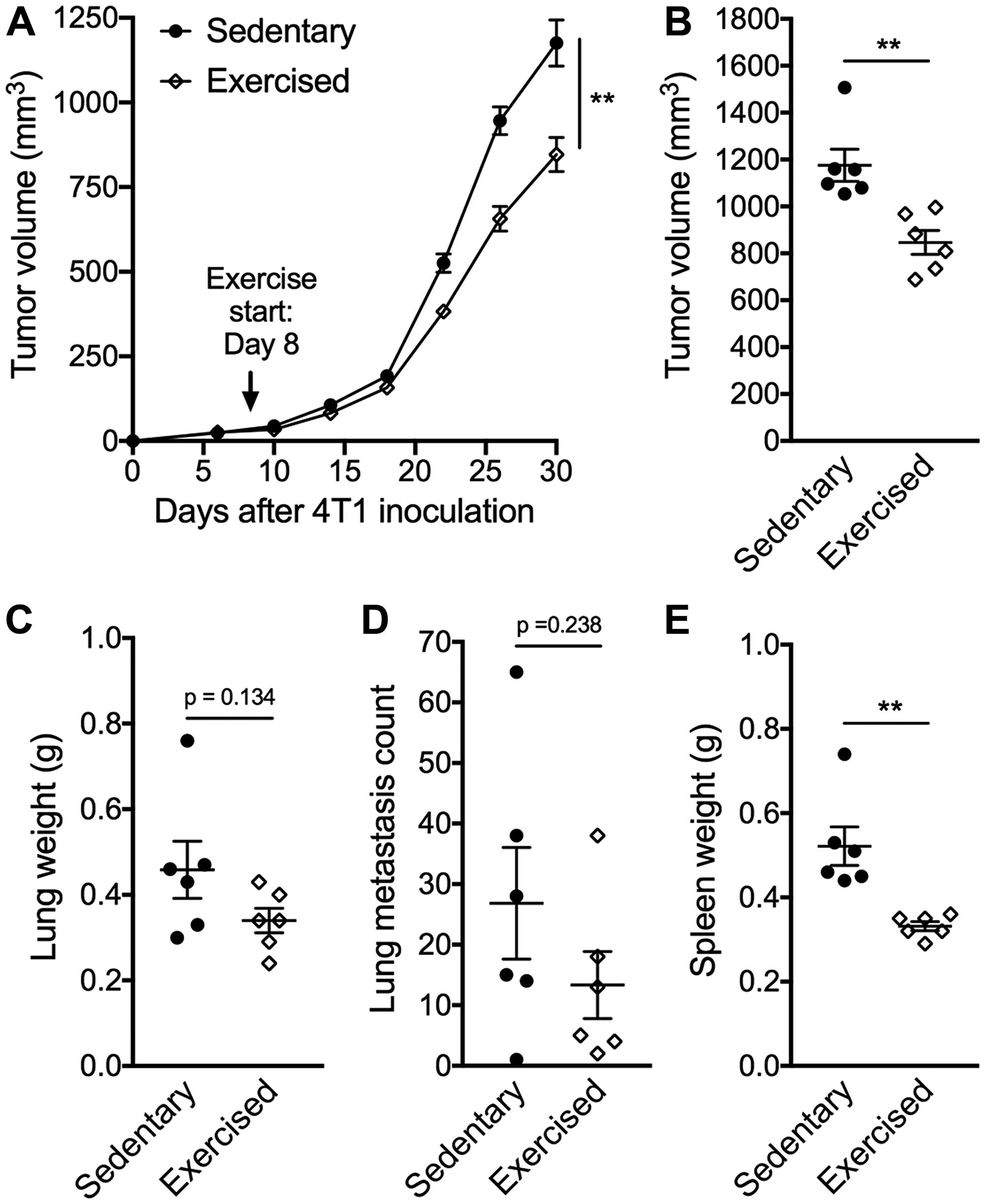 Exercise training delays tumor growth.
