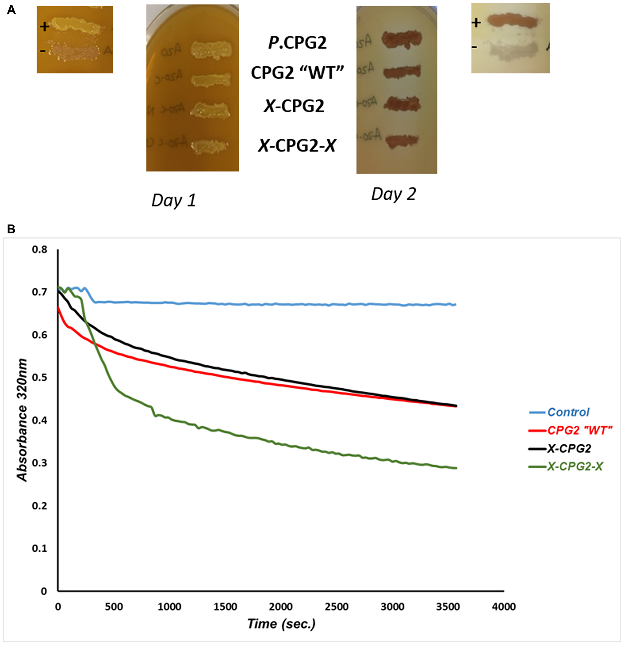Catalytic activity and kinetics of CPG2 and its fusion protein derivatives.