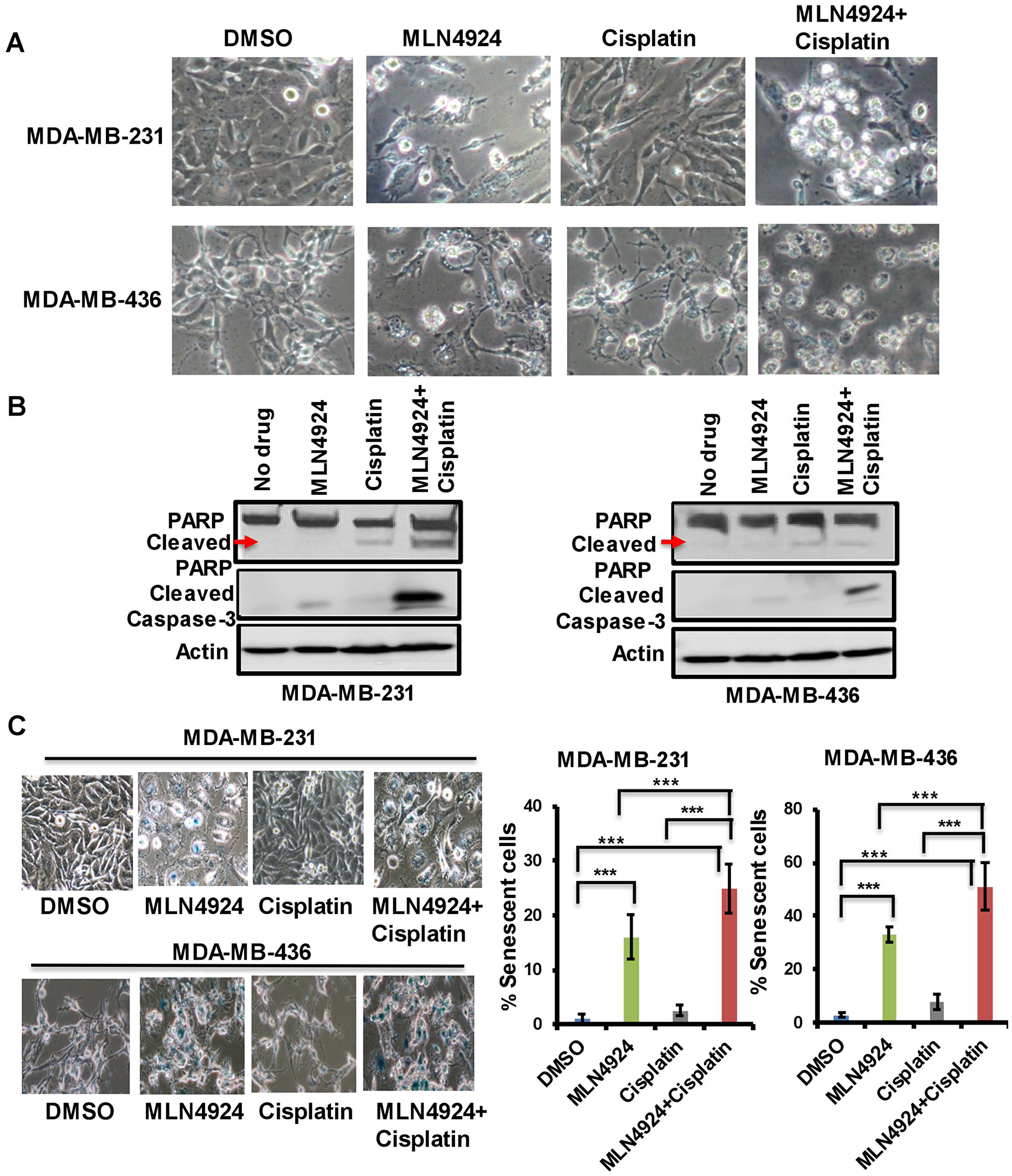 MLN4924 induces apoptosis and senescence in TNBC cells which are enhanced by MLN4924/cisplatin combination treatment.