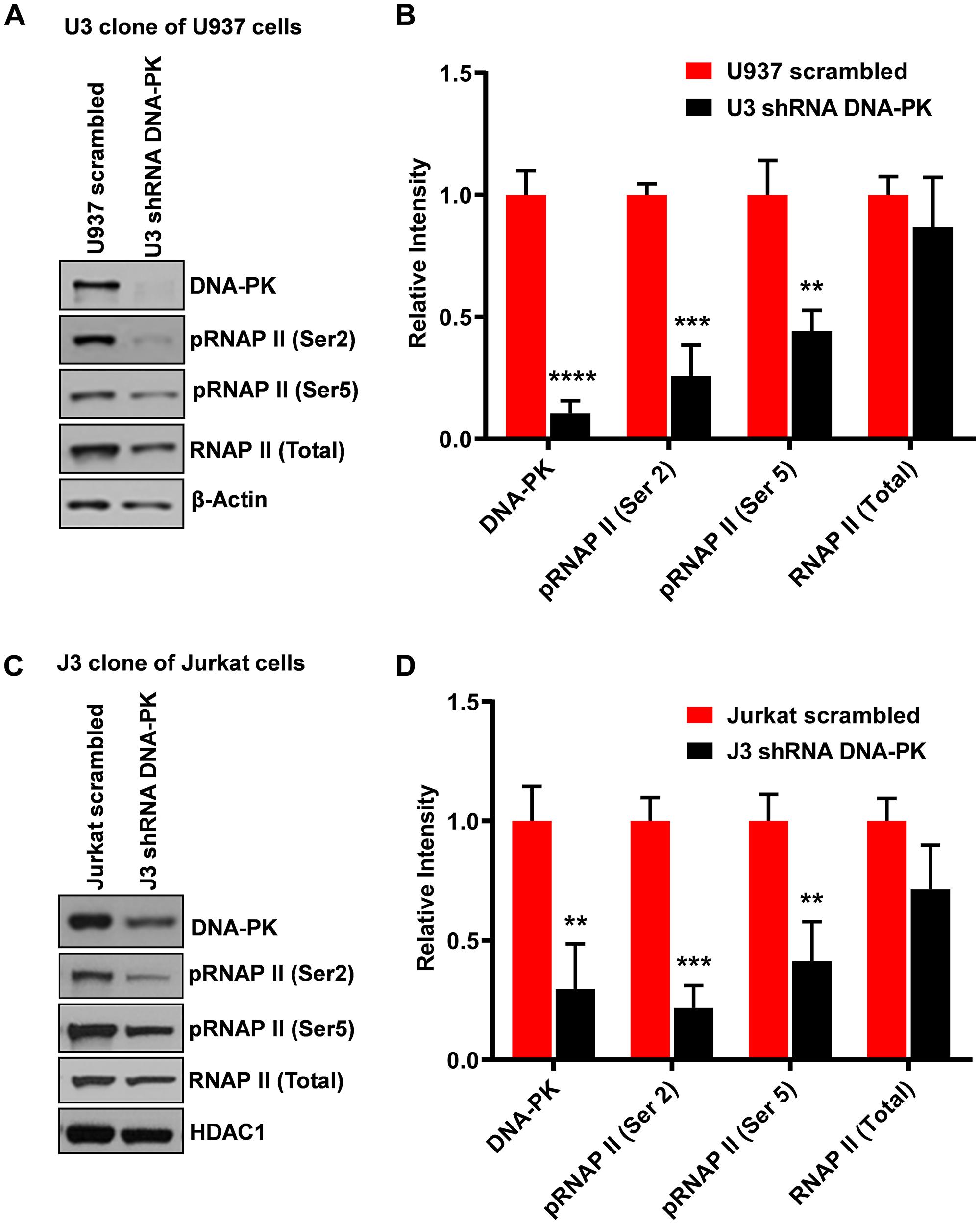 Knockdown of DNA-PK restricts RNAP II CTD phosphorylation.
