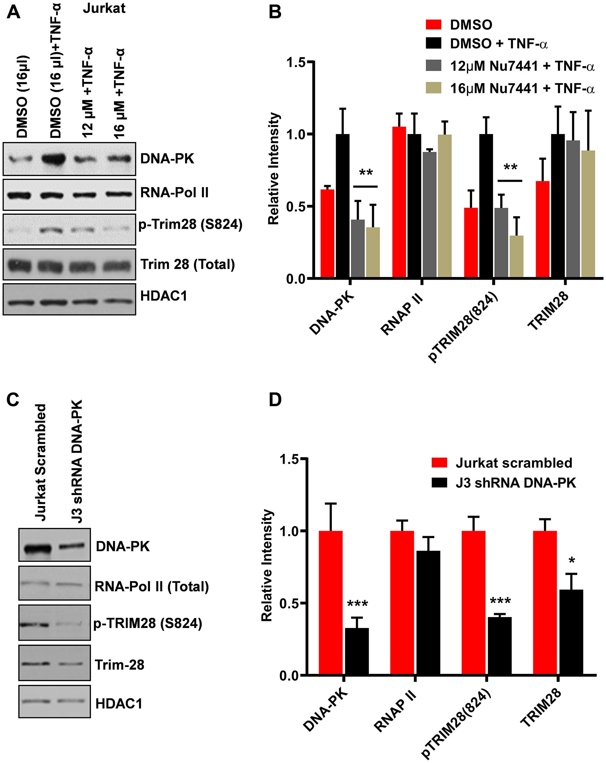DNA-PK catalyzes the phosphorylation of TRIM28.