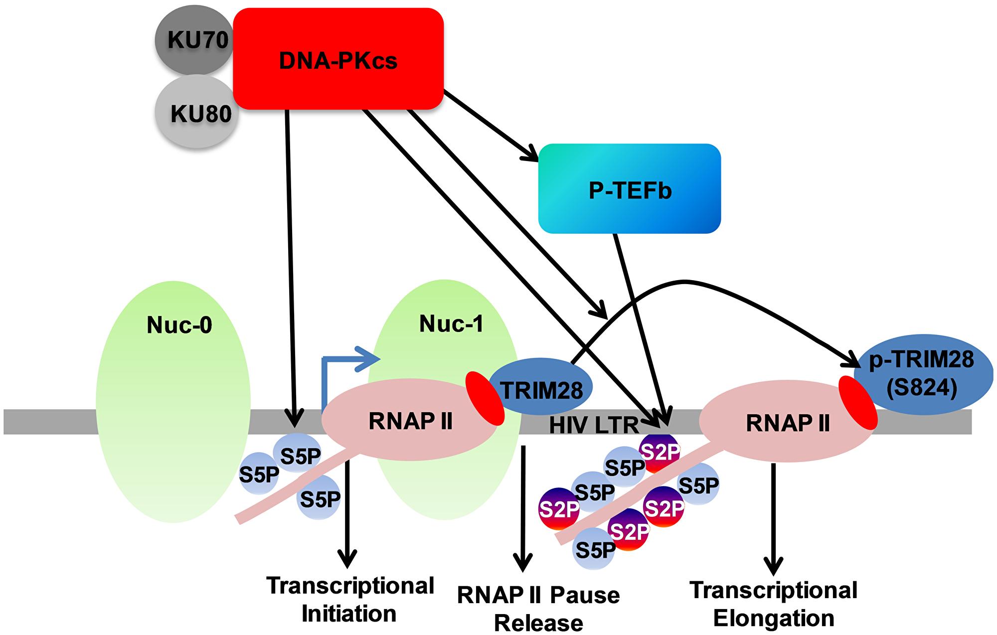 DNA-PK facilitates HIV transcription by targeting multiple mechanisms.