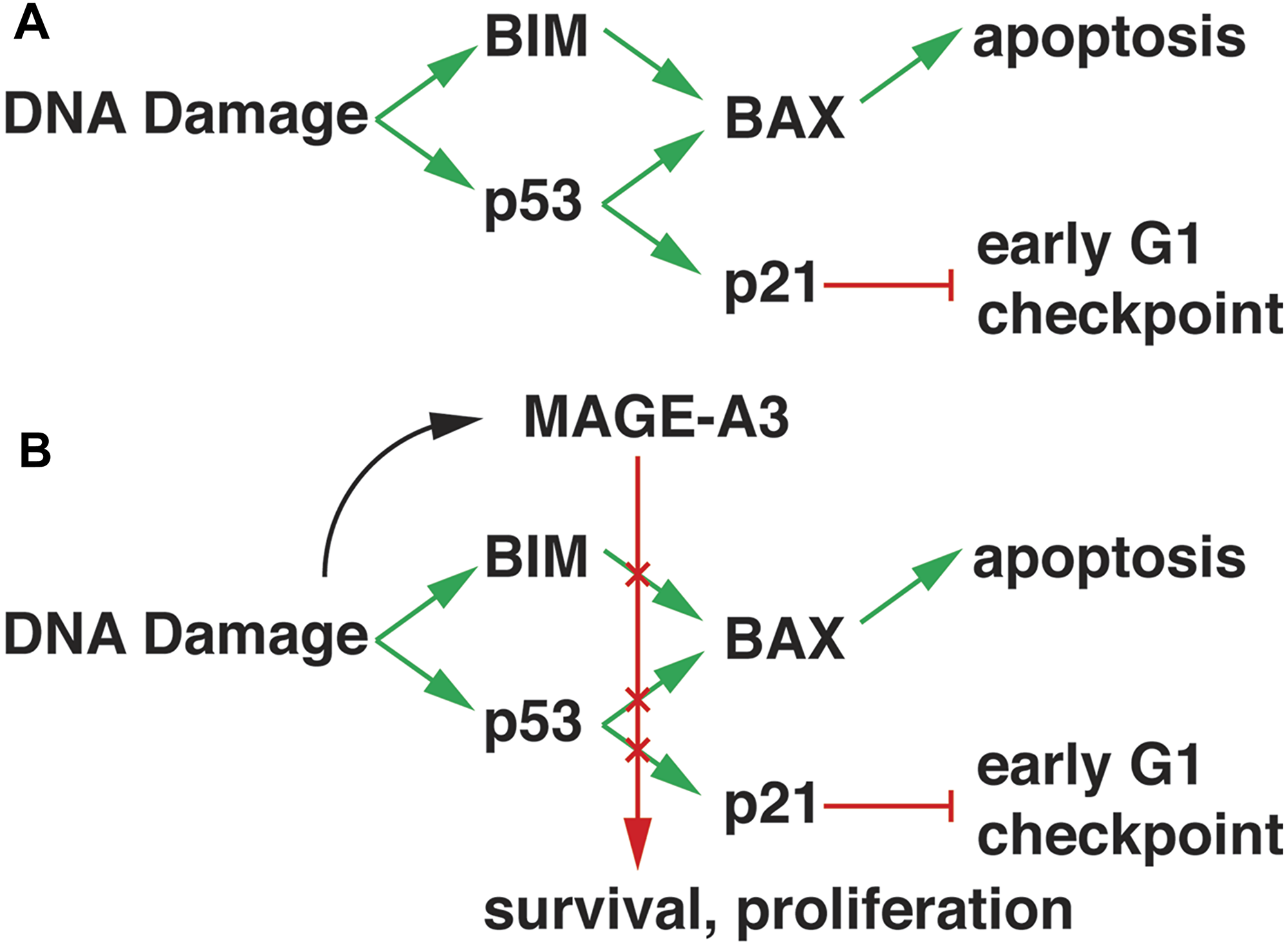 Model of MAGE-A3 activity in MM.