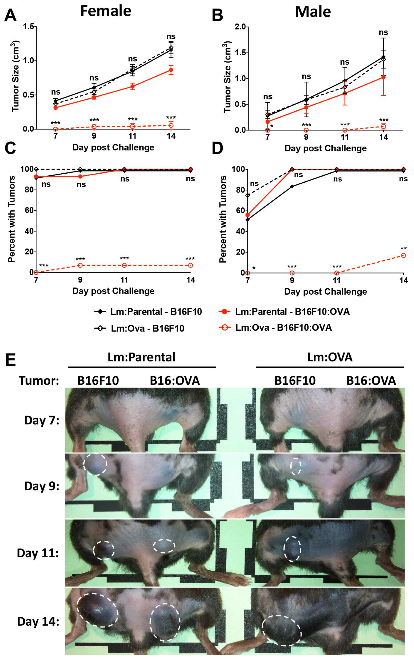 Lm: OVA vaccination significantly protects mice from B16F10: OVA during primary challenge.