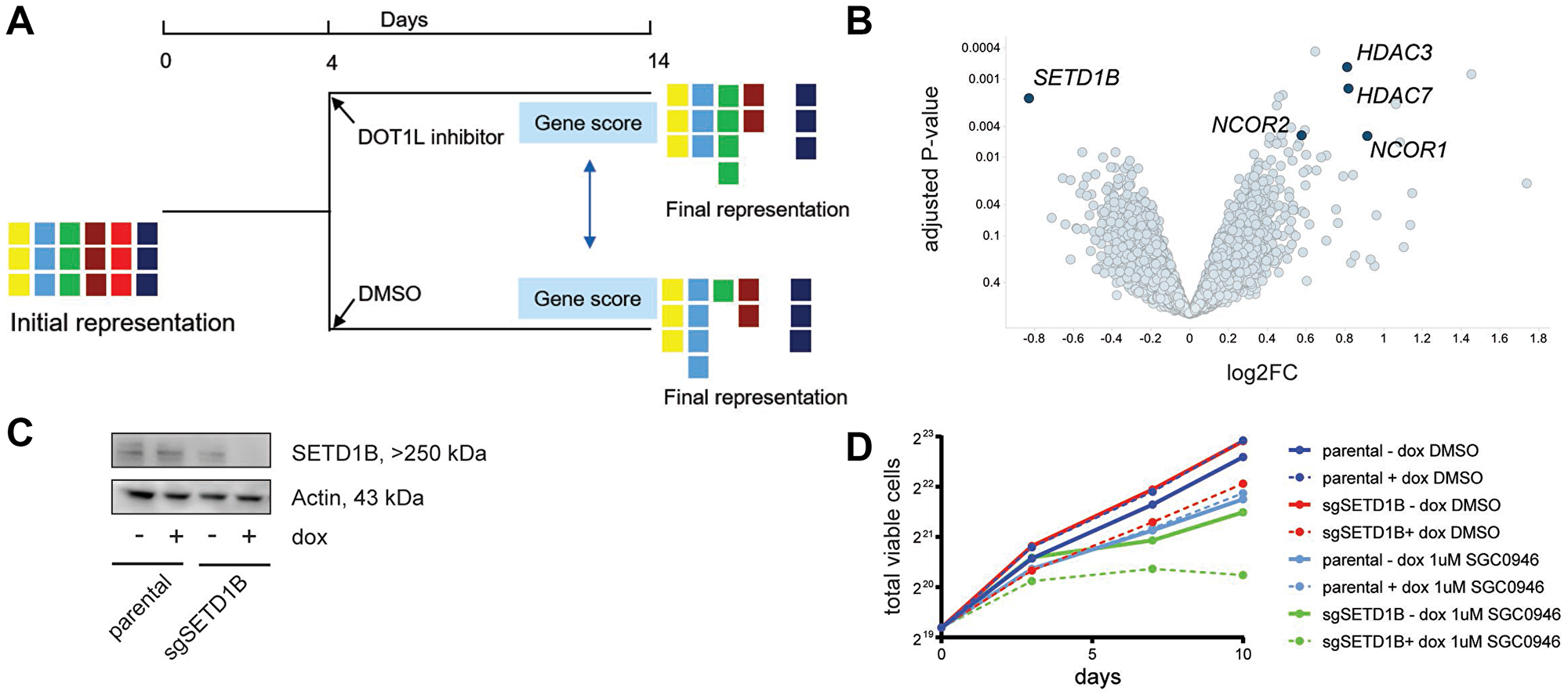 Whole-genome CRISPR screen with or without DOT1L inhibition indicates sensitization by SETD1B inactivation.