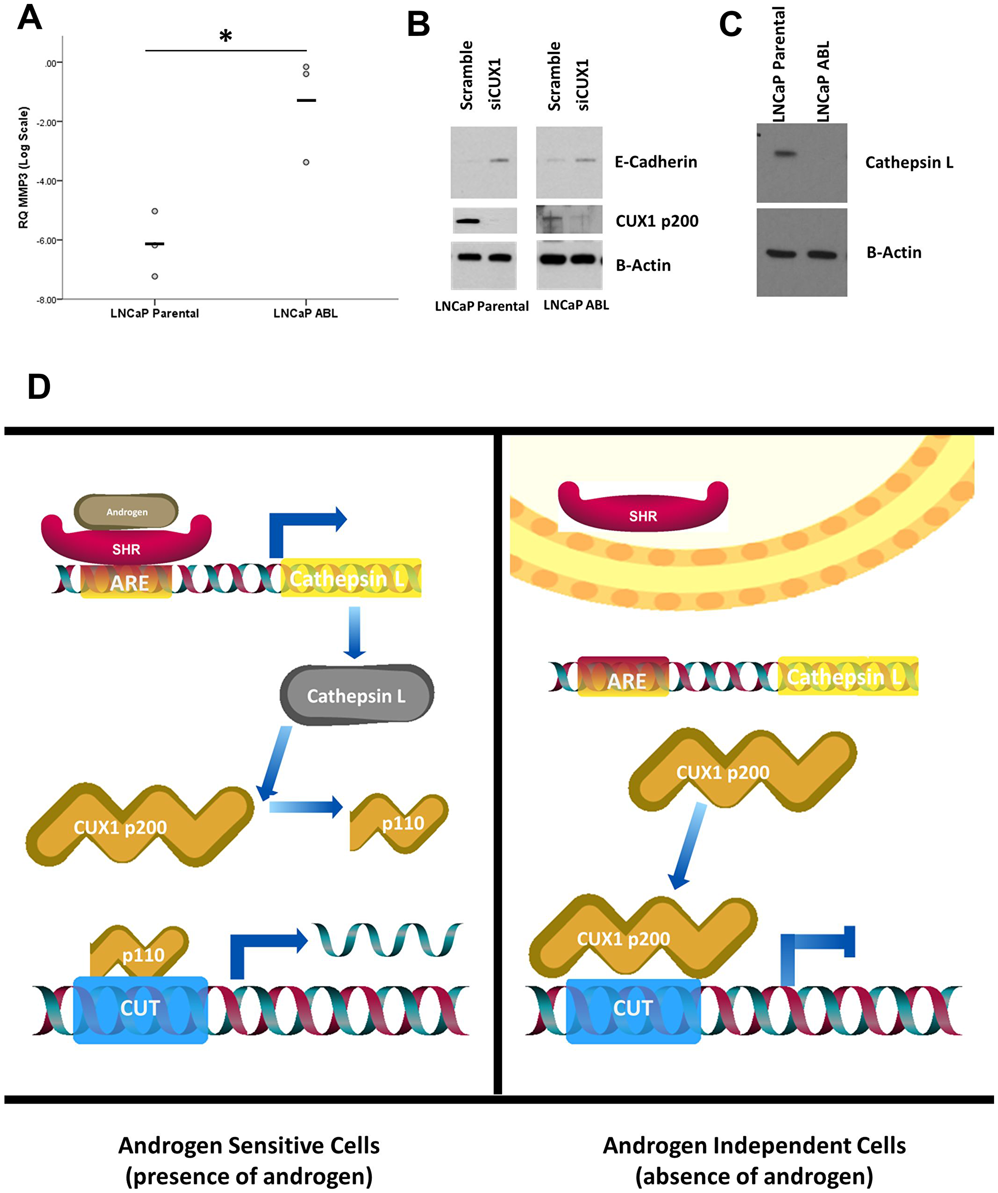 Phenotypic differences in response to CUX1 silencing are driven by androgen status.