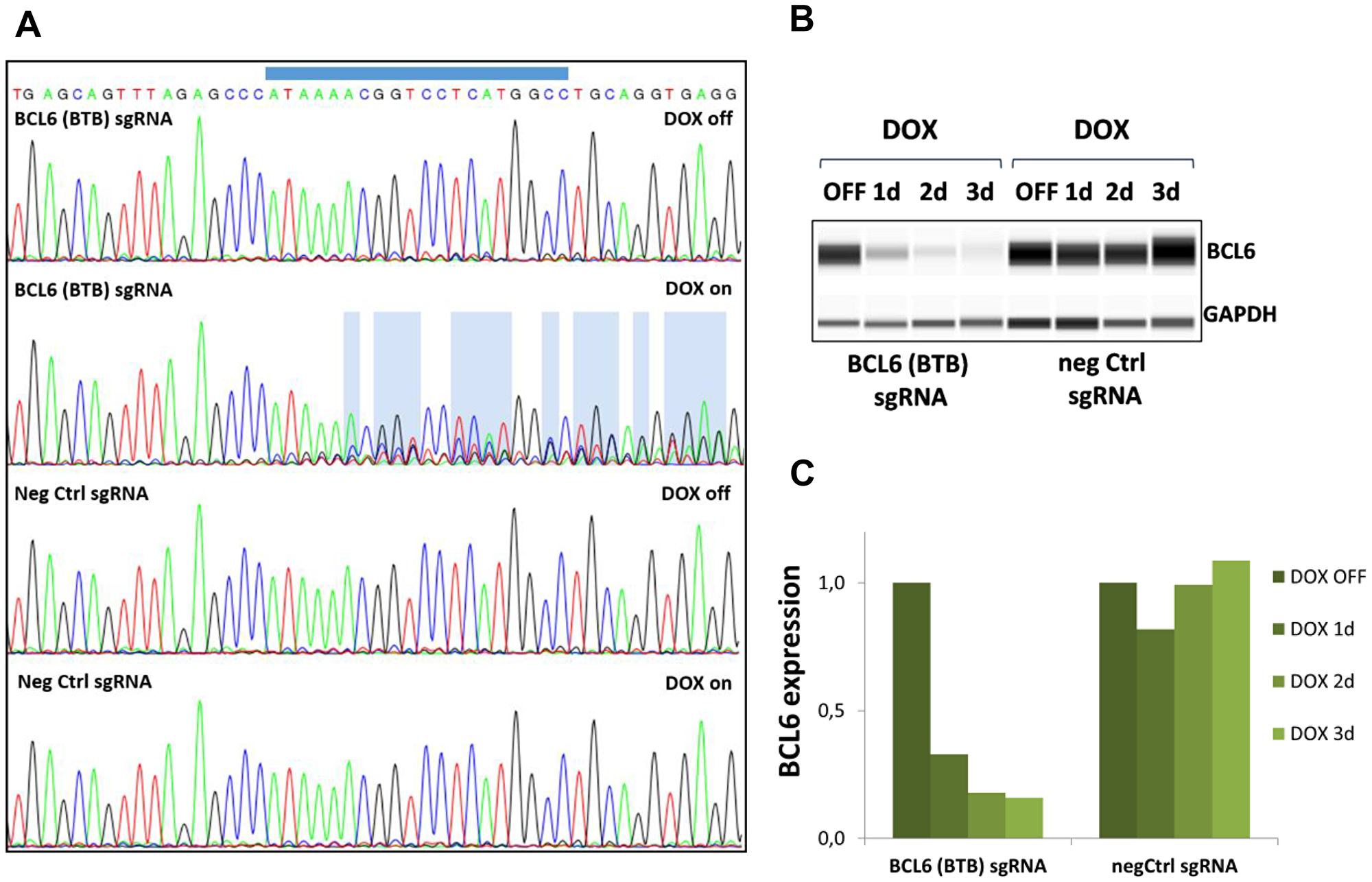 Gene editing and BCL6 protein deletion in SU-DHL-4 Cas9 cells.