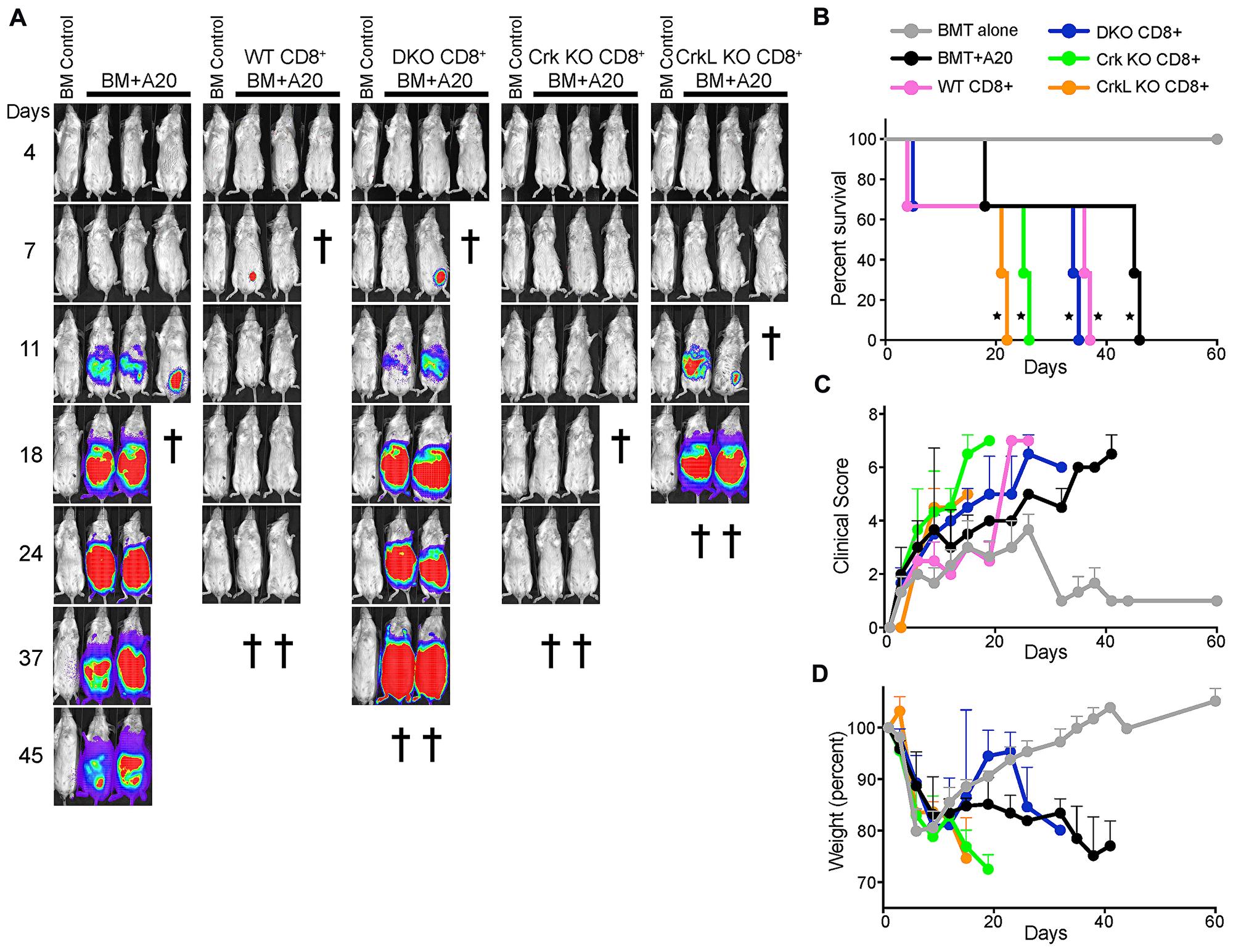 T cells lacking CrkL fail to eliminate a subcutaneous tumor.