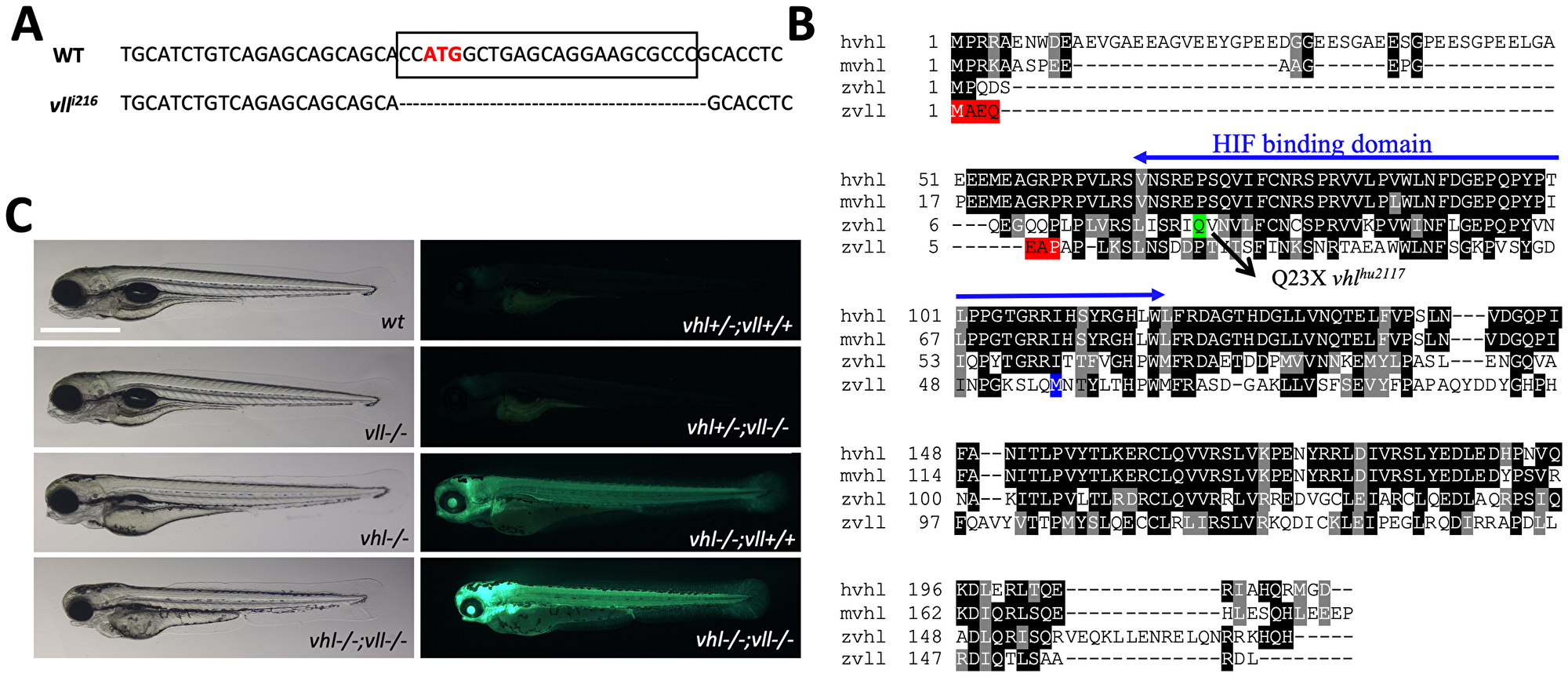 A vll mutant allele, vll216, is generated by a zinc finger nuclease.
