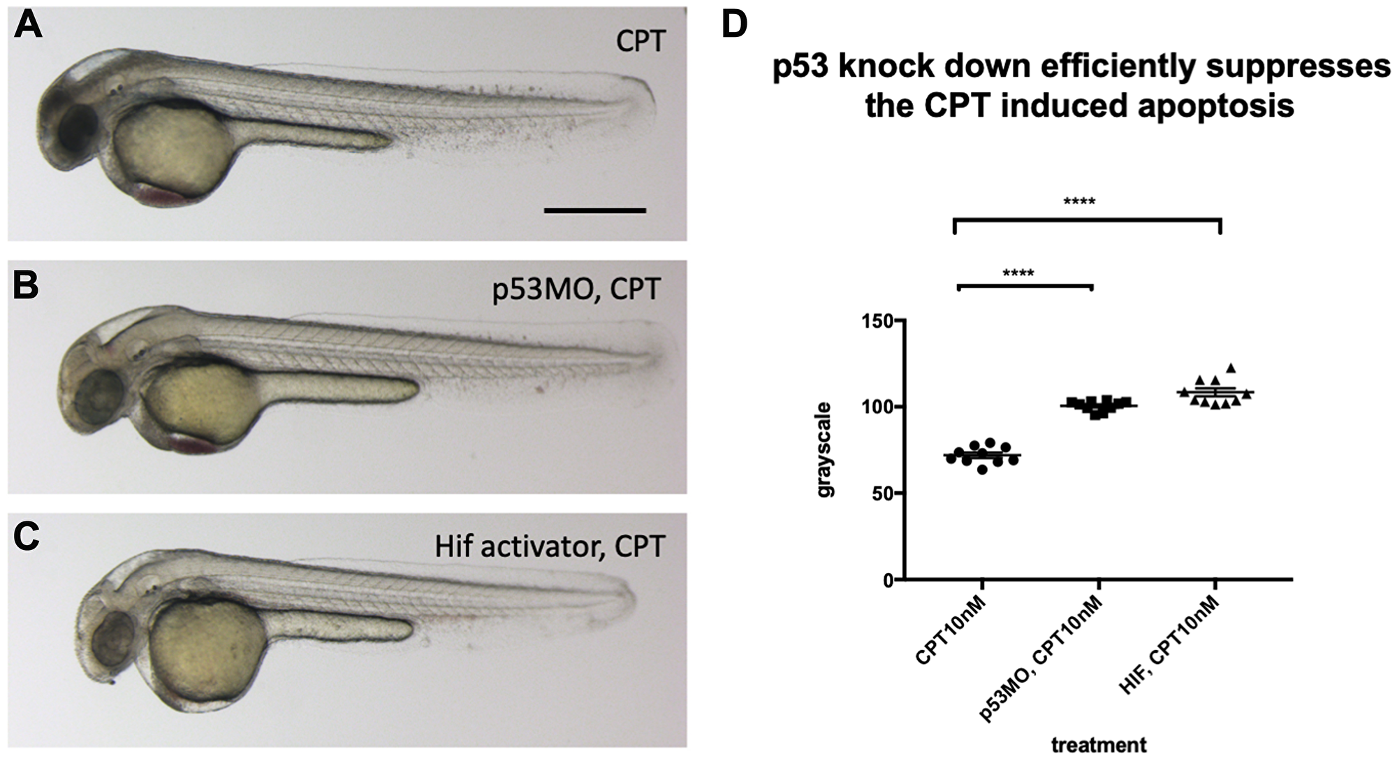 p53 knock down by p53 morpholino injection protects embryos from CPT induced apoptosis.