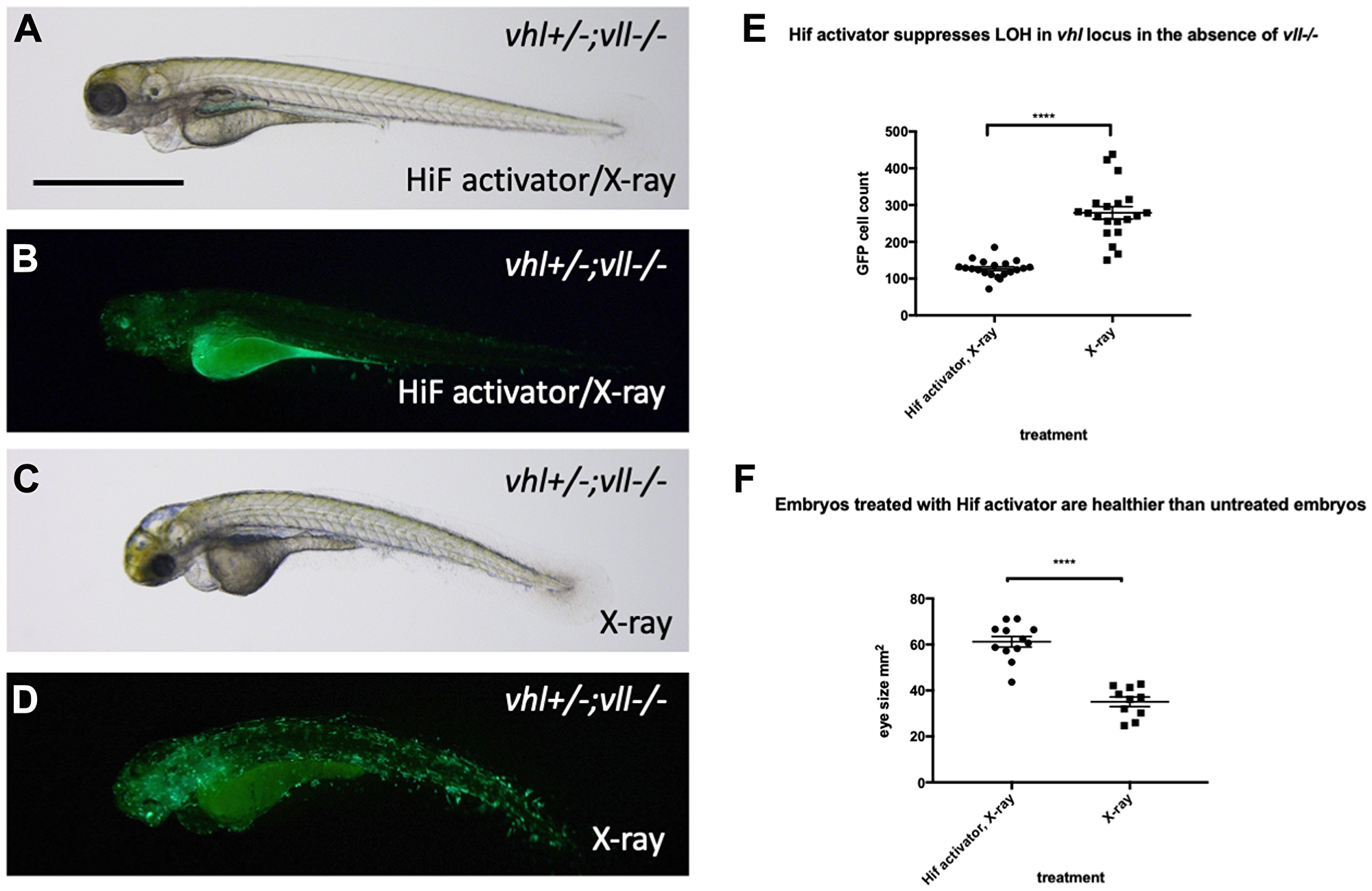 Hif activator treatment protects embryos from X-ray induced DNA damage.