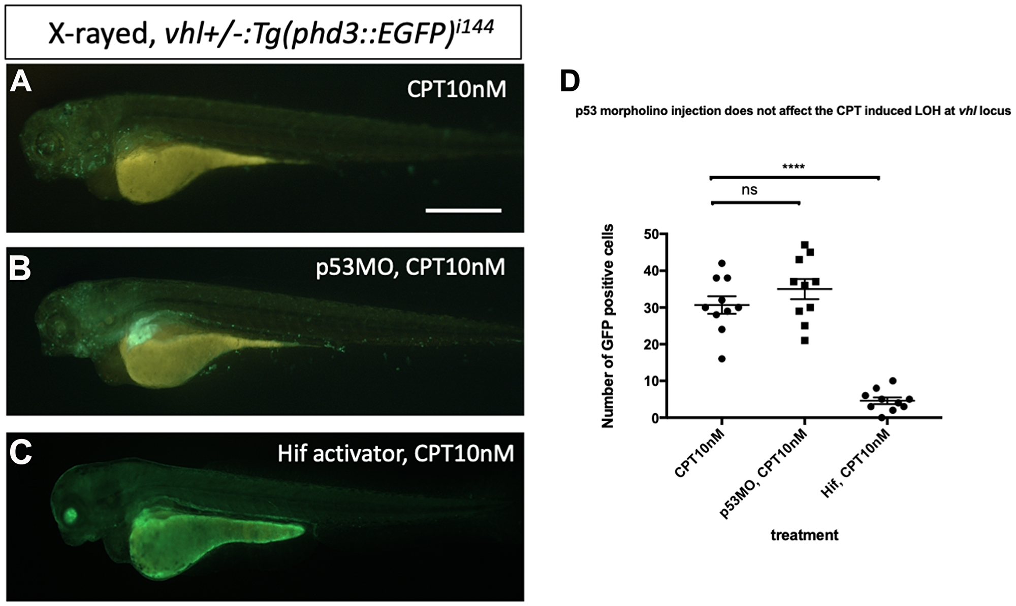 p53 knock down by p53 morpholino does not affect the number of LOH at the vhl locus induced by CPT.
