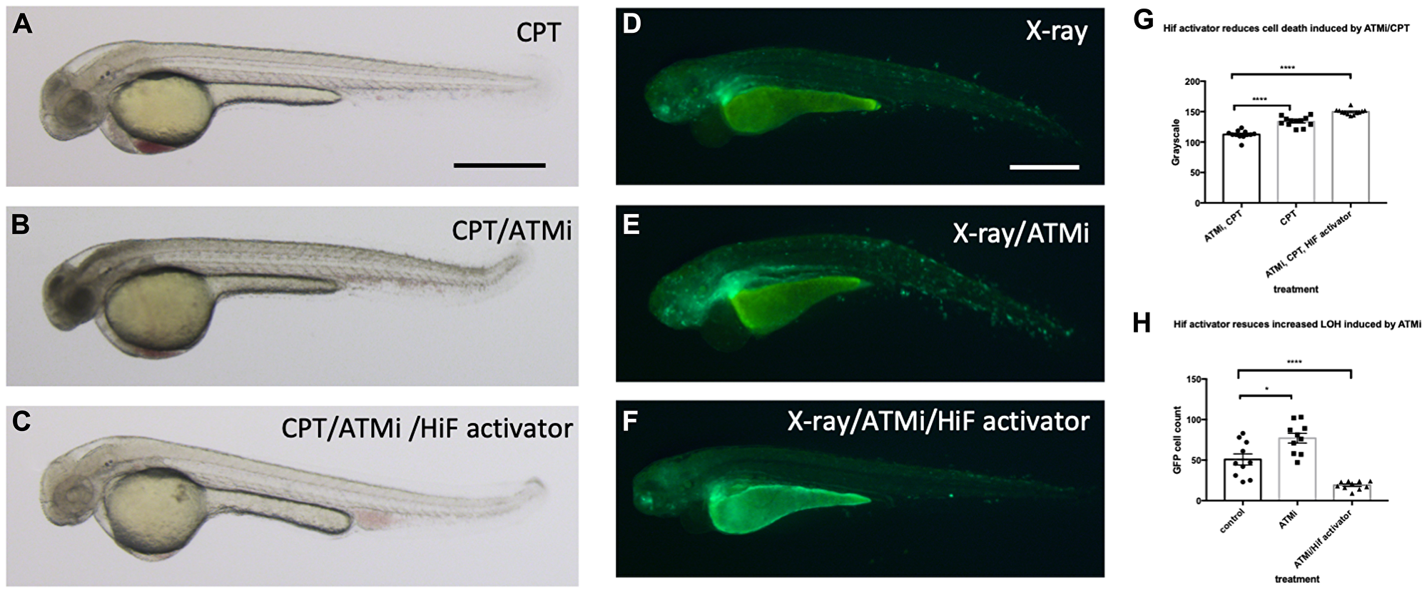 Hif activation abolishes the sensitivity to CPT induced cell death in ATM inhibitor treated embryos.
