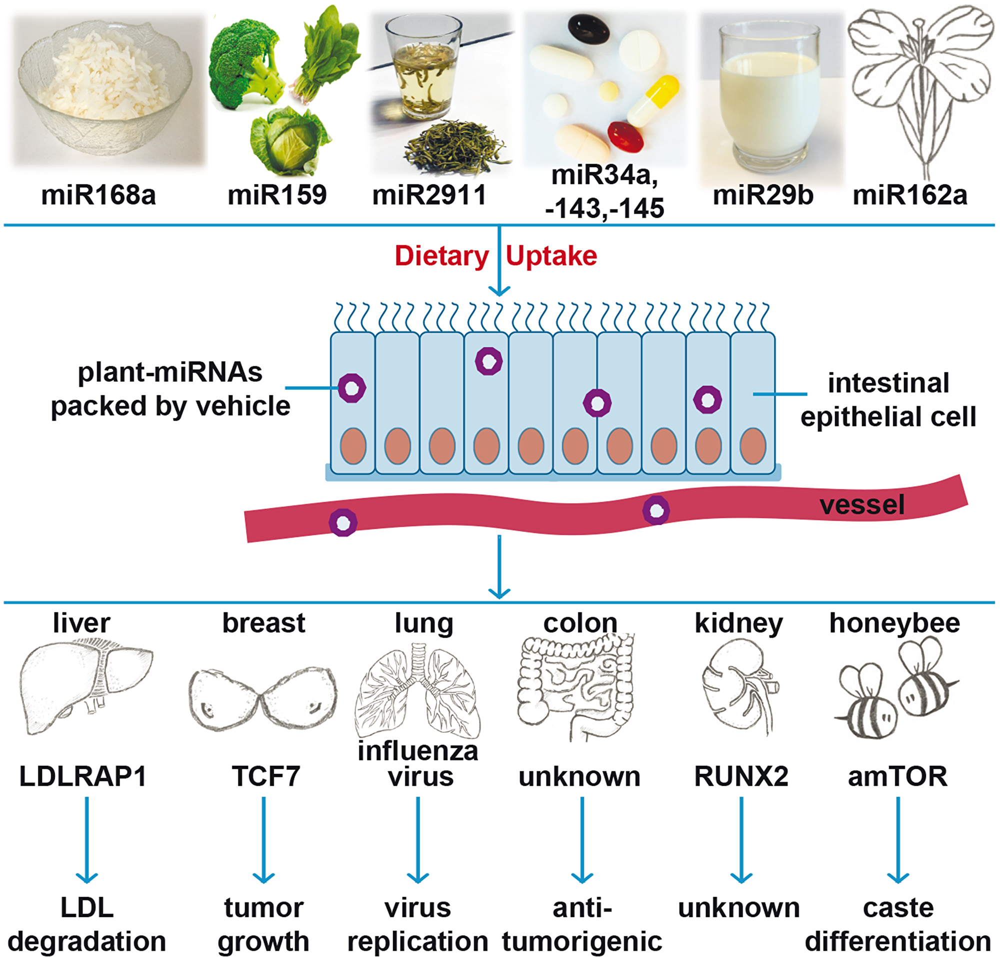 Cartoon of recent findings of plant miRNA actions.