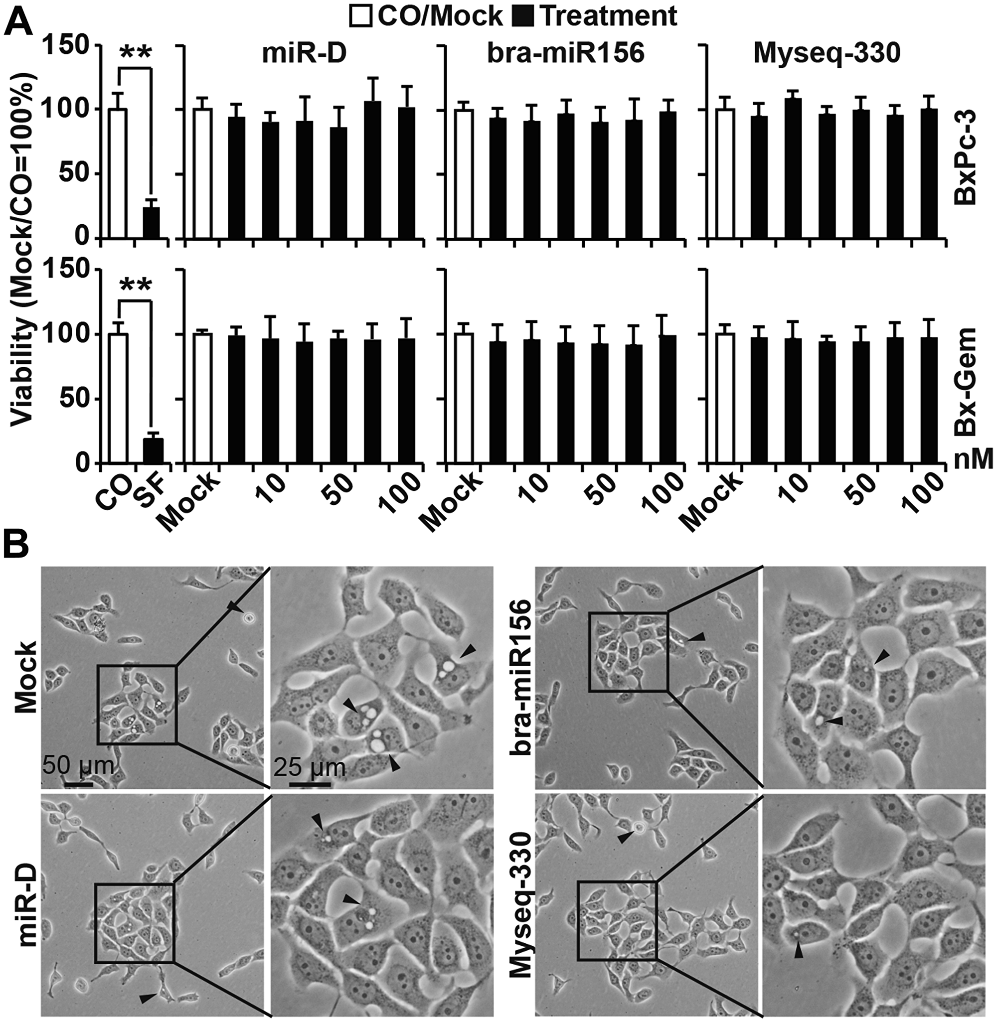 Lipofection of the top broccoletti-miR candidates does not alter cell viability or morphology.