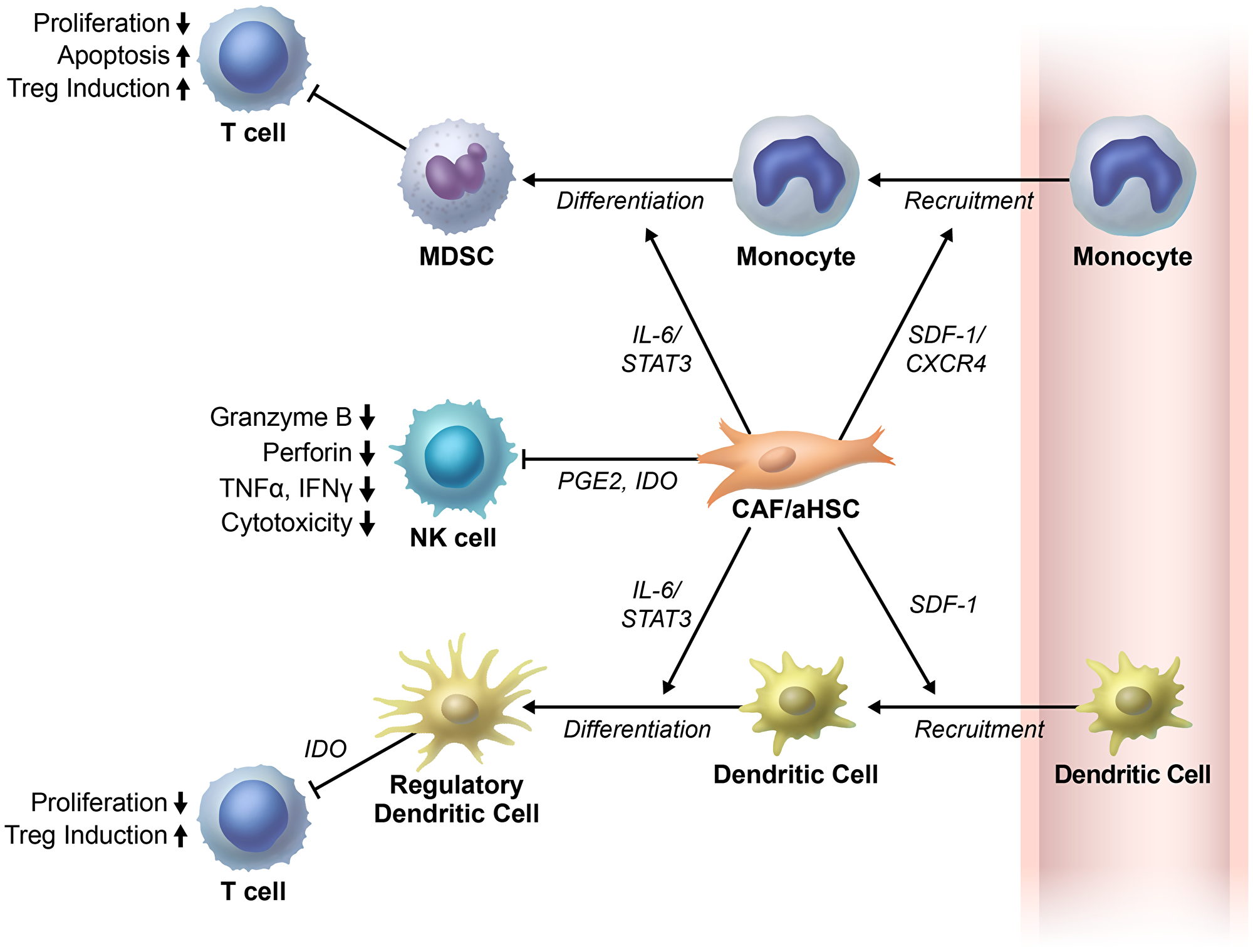 Cancer associated fibroblasts/activated hepatic stellate cells regulate immune cells in tumor microenvironment.
