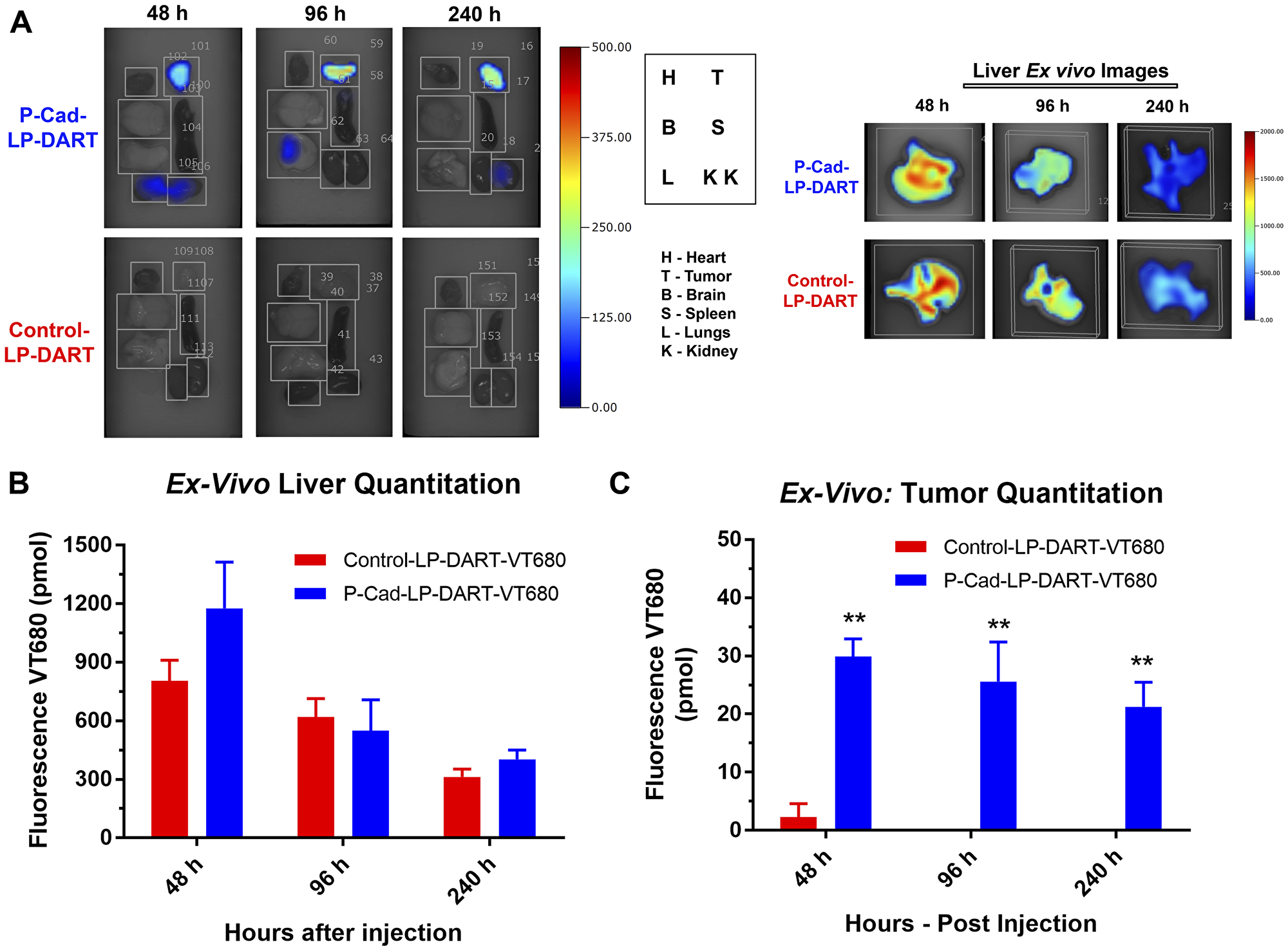 Ex vivo imaging and quantitation of accumulation in tumor and other organs.