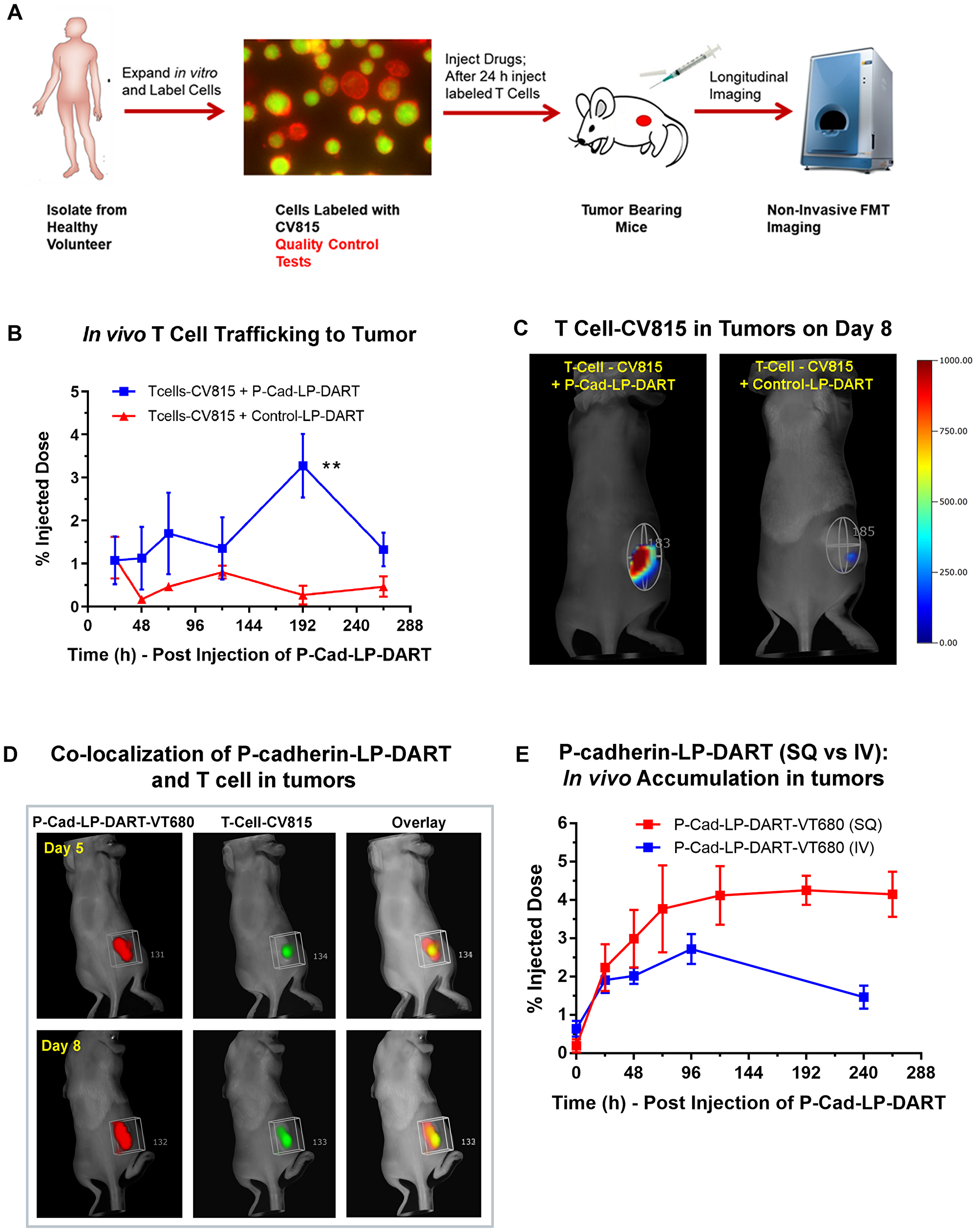 In vivo T cell trafficking in HCT-116 xenograft model by FMT imaging.