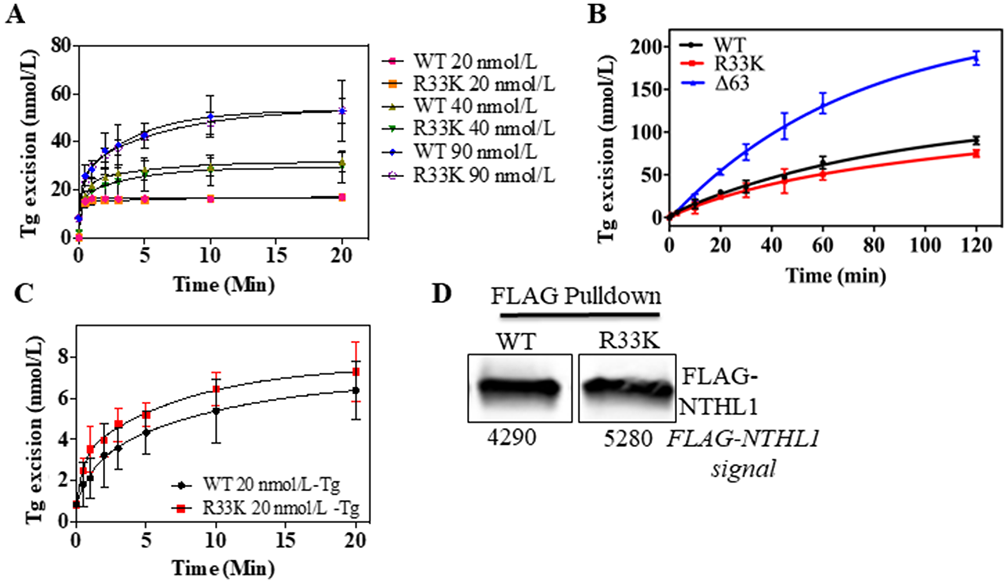 Wt- and R33K-NTHL1 proteins exhibit similar enzyme kinetics.