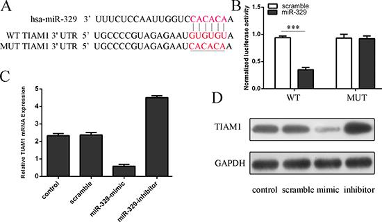 miR-329 targets TIAM1 in GC cells.