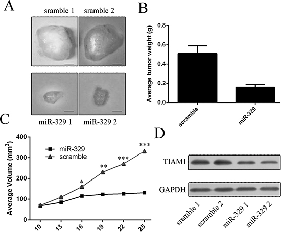miR-329 inhibited the growth of HGC-27-engrafted tumors.
