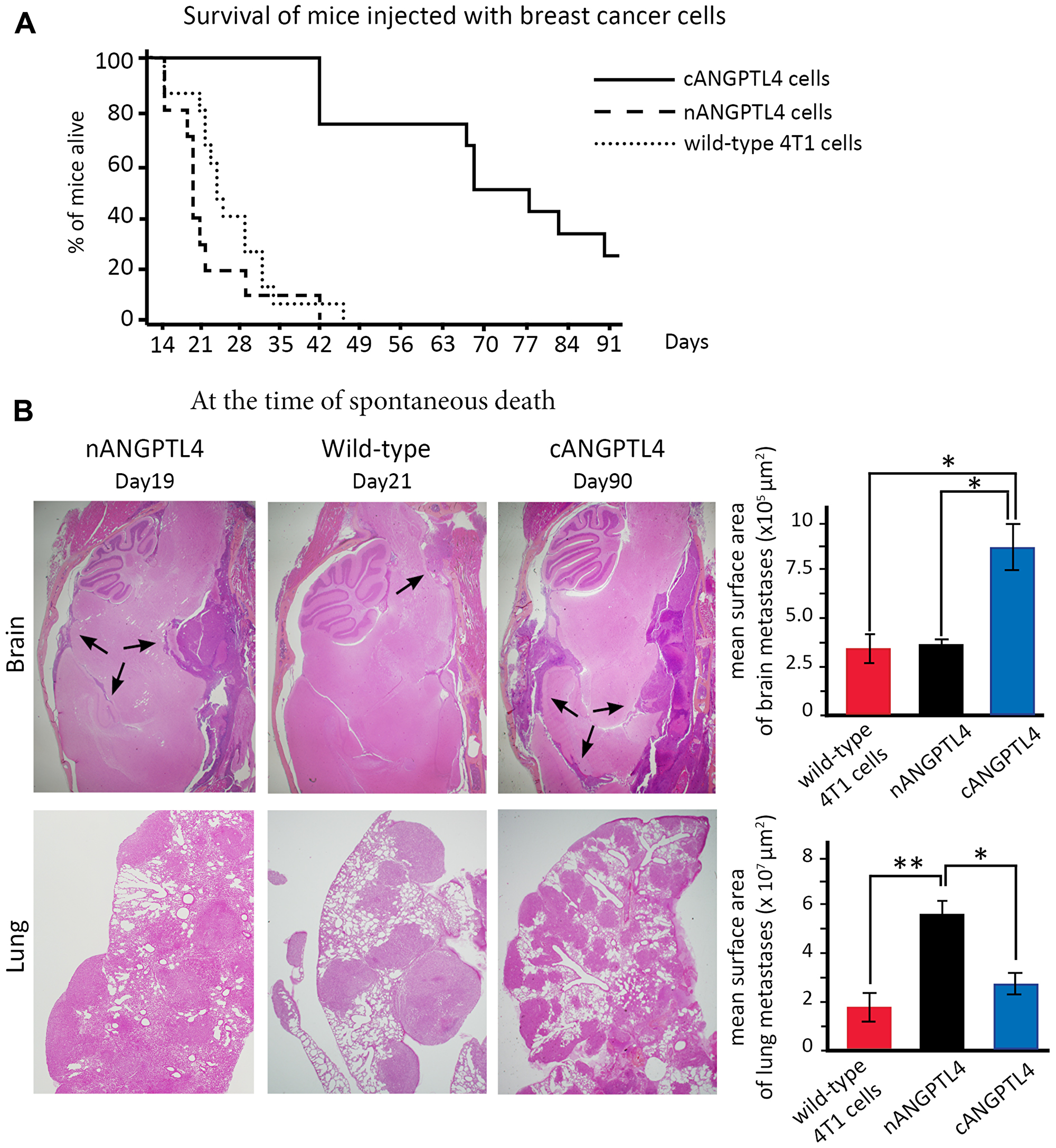 Phenotype of mice injected with 4T1 cells expressing either nANGPTL4 or cANGPTL4 fragment.