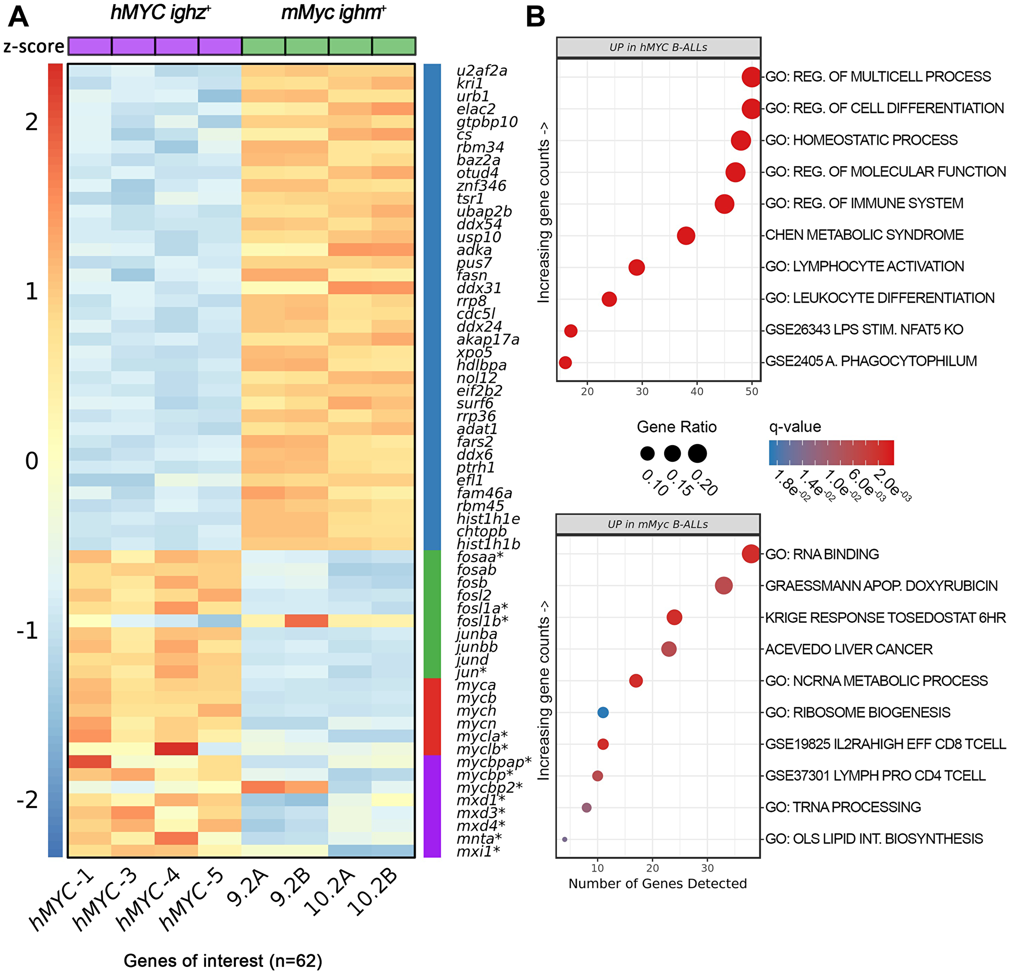 Differentially-expressed genes in hMYC versus mMyc B-ALL.