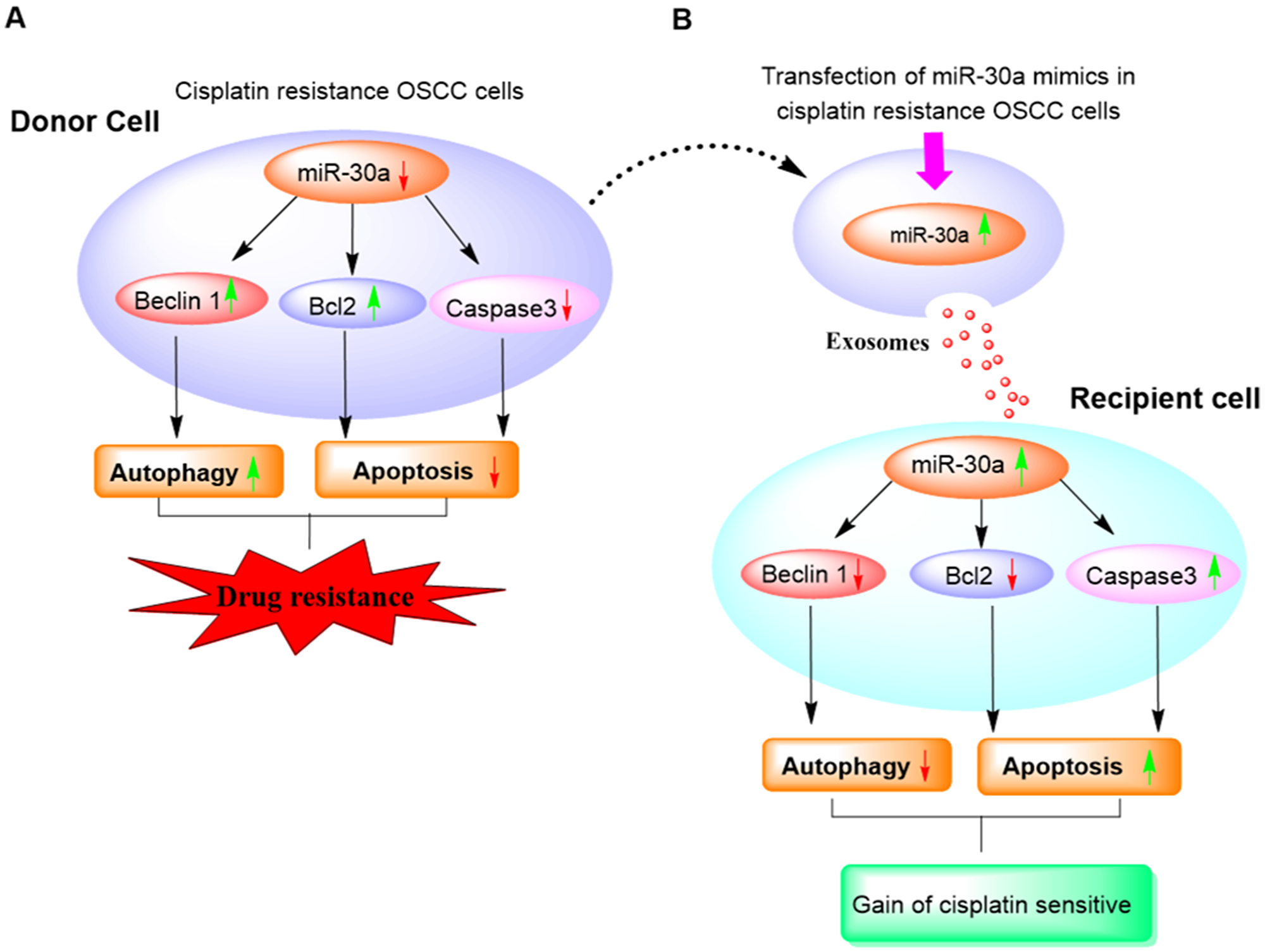 Diagram illustrating the role of exosome-mediated miR30a delivery in a reversal of cisplatin resistance in OSCC cells.
